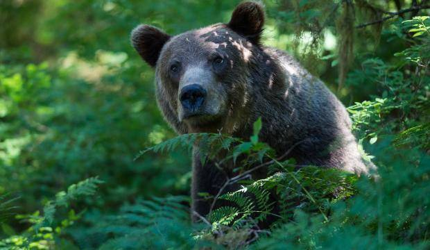 A brown bear on the trail at Anan Creek Wildlife Observatory on Aug. 9, 2017. (Michael Penn | Juneau Empire)