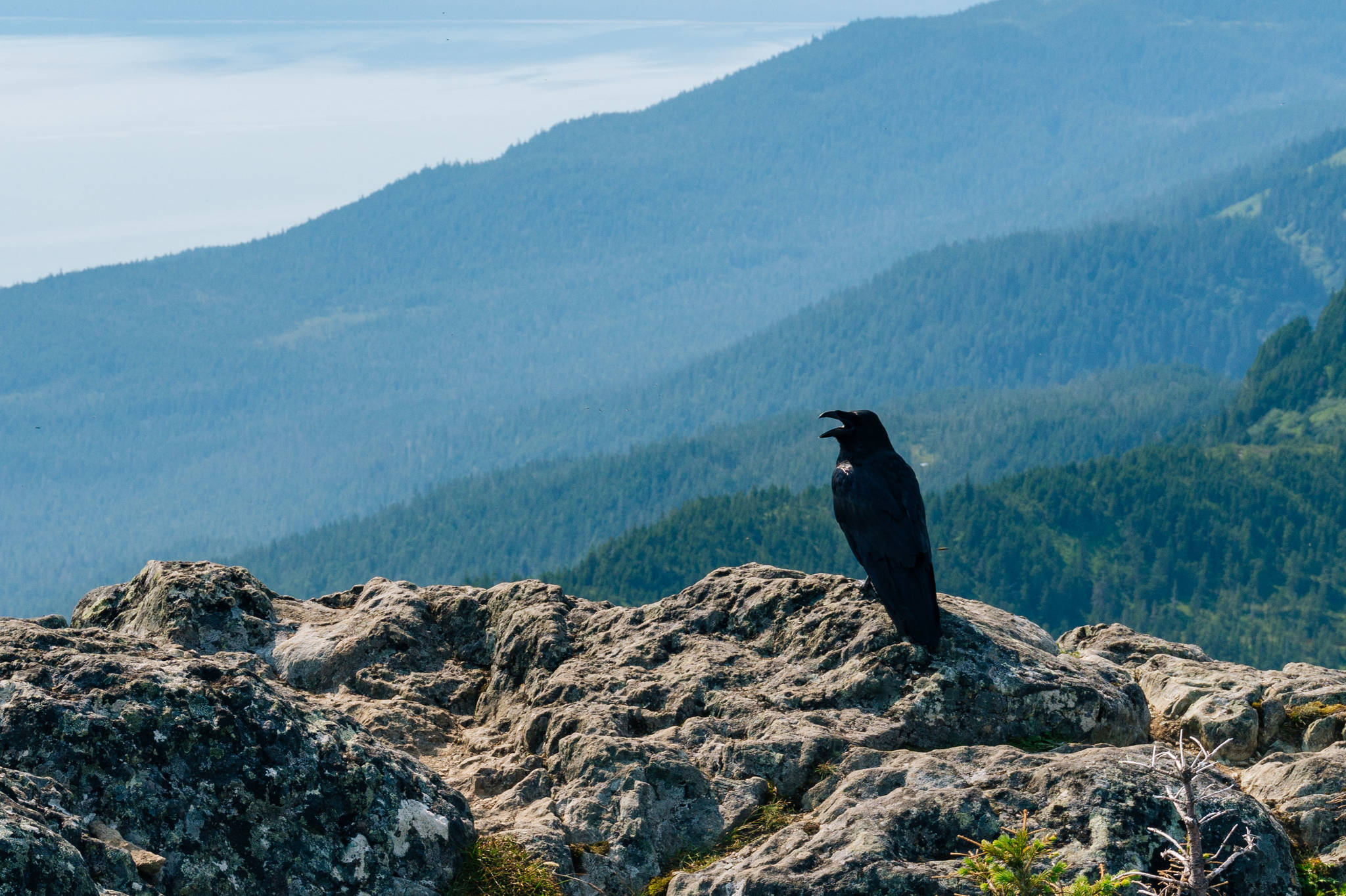 Raven sits with mouth open on at Mt. Jumbo summit. (Photo by Gabriel Donohoe)