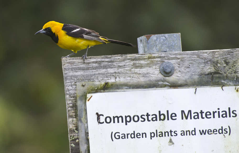 A male hooded oriole perches on sign at the Juneau Community Garden on Tuesday. Birders from around Alaska are flocking to Community Gardens for an extremely unusual sight: a hooded oriole, a black and yellow or orange bird never before seen in the state. The bird's winter range is typically in Mexico and California; it's frequently seen around palm trees.Fourteen-year-old birder Owen Squires on Sept. 19 was the first to identify the bird. His mother, Marsha Squires, was the first to sight it. For the full story on the exciting find, video, and theories as to why the bird might be in Alaska, check out Friday's Juneau Empire outdoors section.