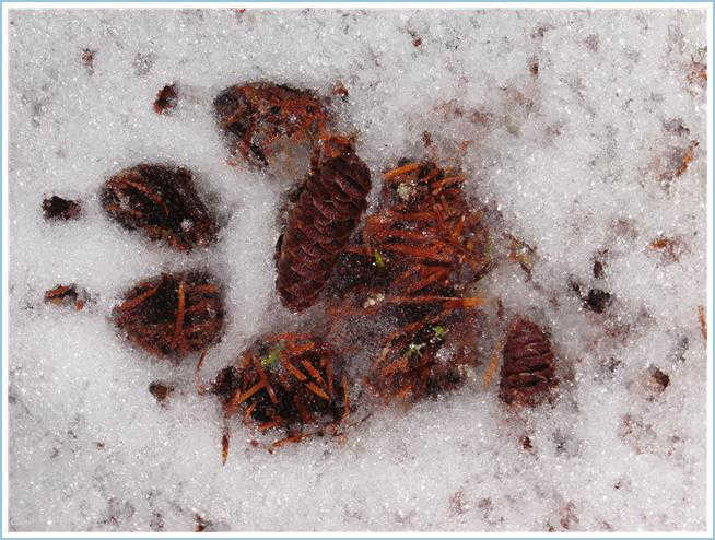 A wolf's track melts the frosty snow, revealing old evergreen needles on the Crow Hill Trail on Dec. 16.