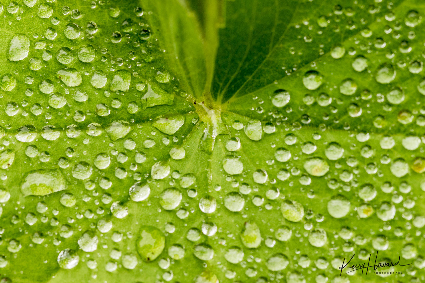 Raindrops on lady's mantle in Juneau on Aug. 12. (Courtesy Photo   Kerry Howard)