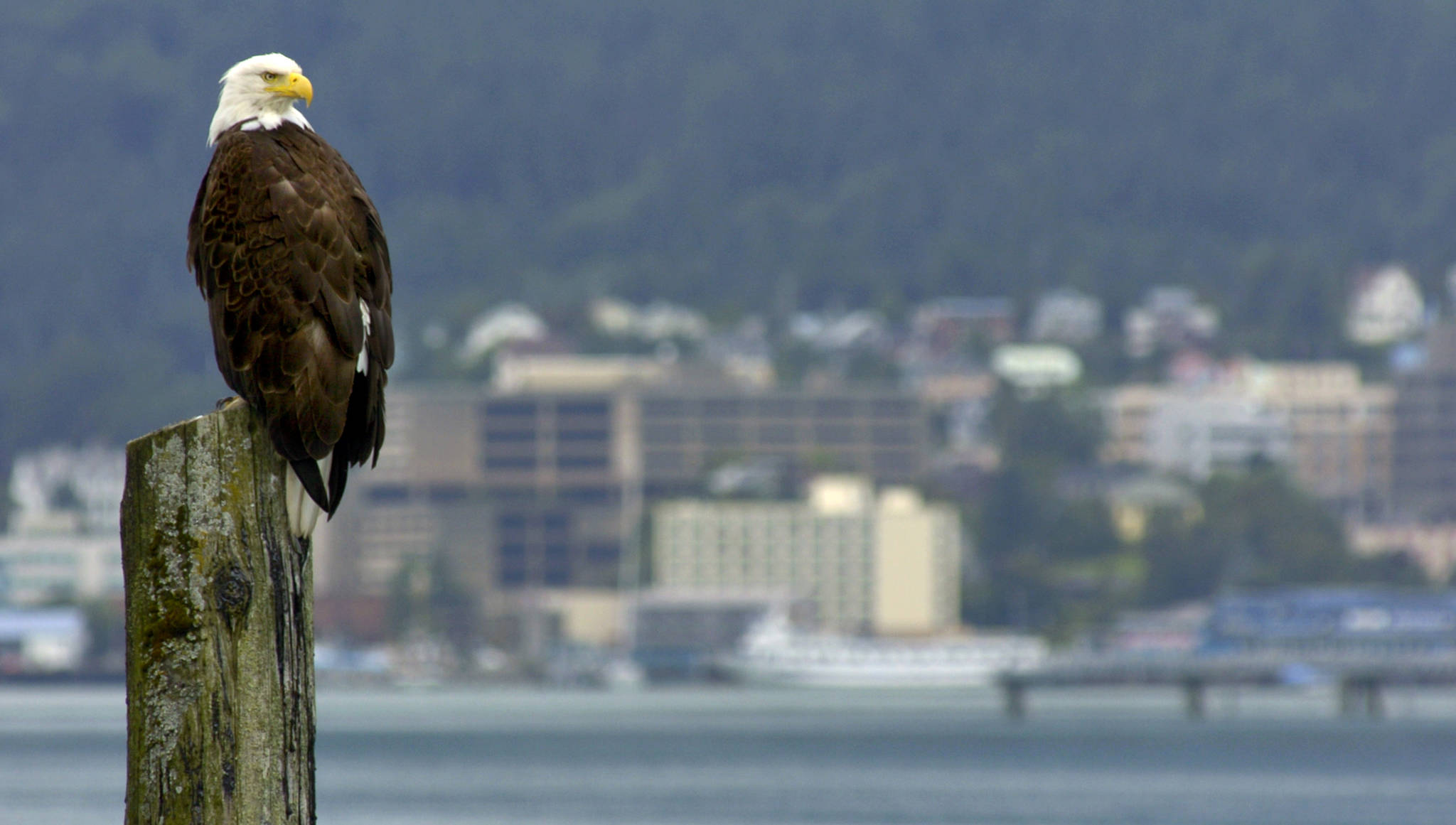 A mature bald eagle perches on a piling outside of the Douglas Harbor in August 2004. (Michael Penn   Juneau Empire file)