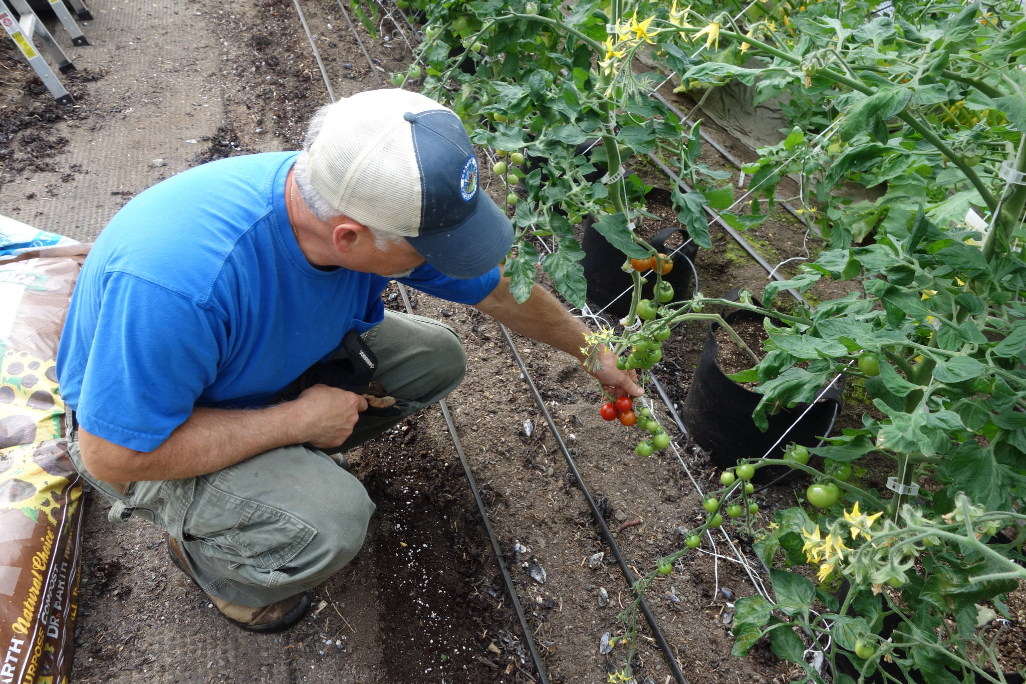 Joe Orsi shows tomatoes growing in his greenhouse. Photo by Clara Miller.