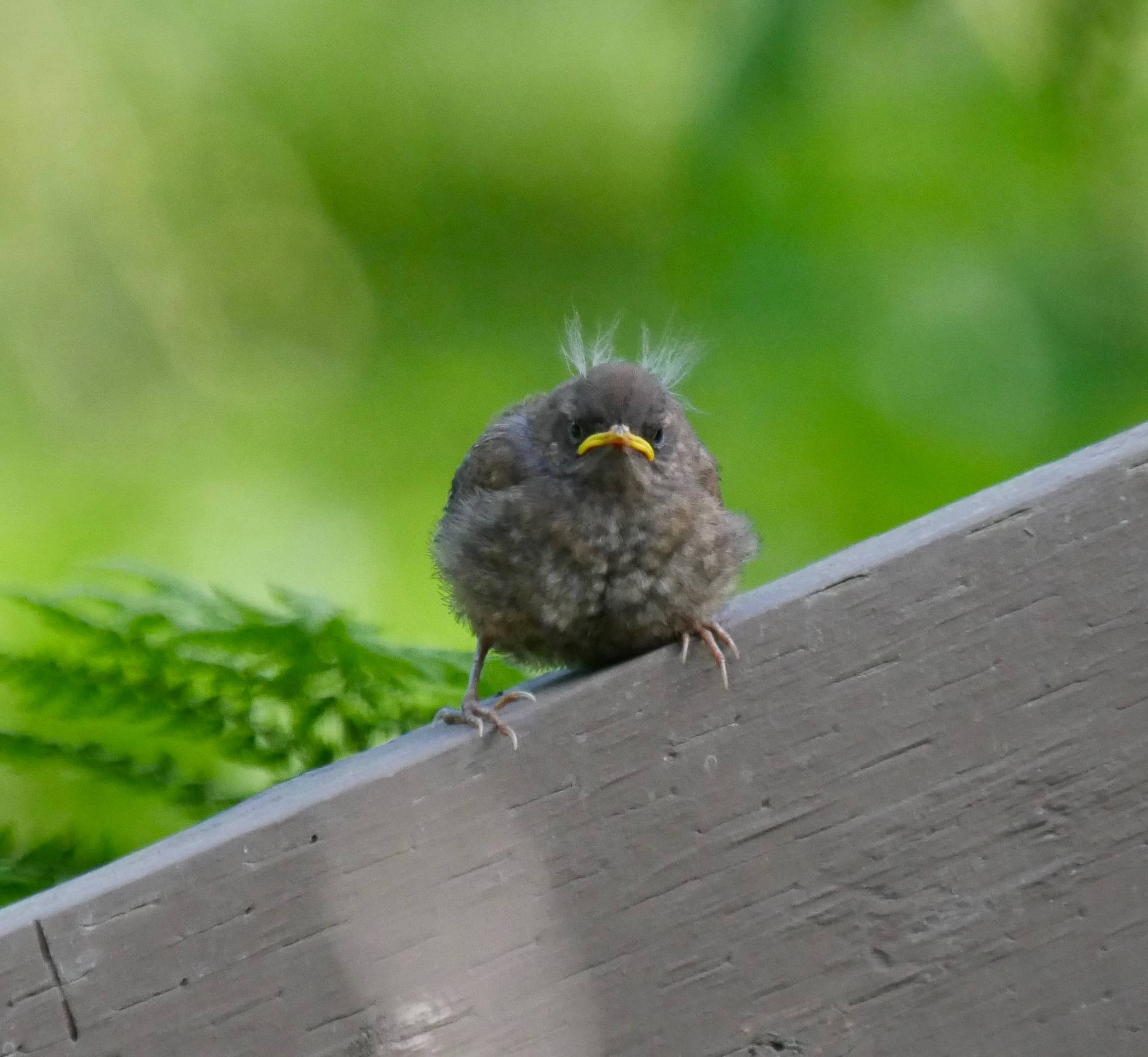 Fledgling Pacific Wren on Treadwell Historic Mine Trail. (Photo by Janine Reep)