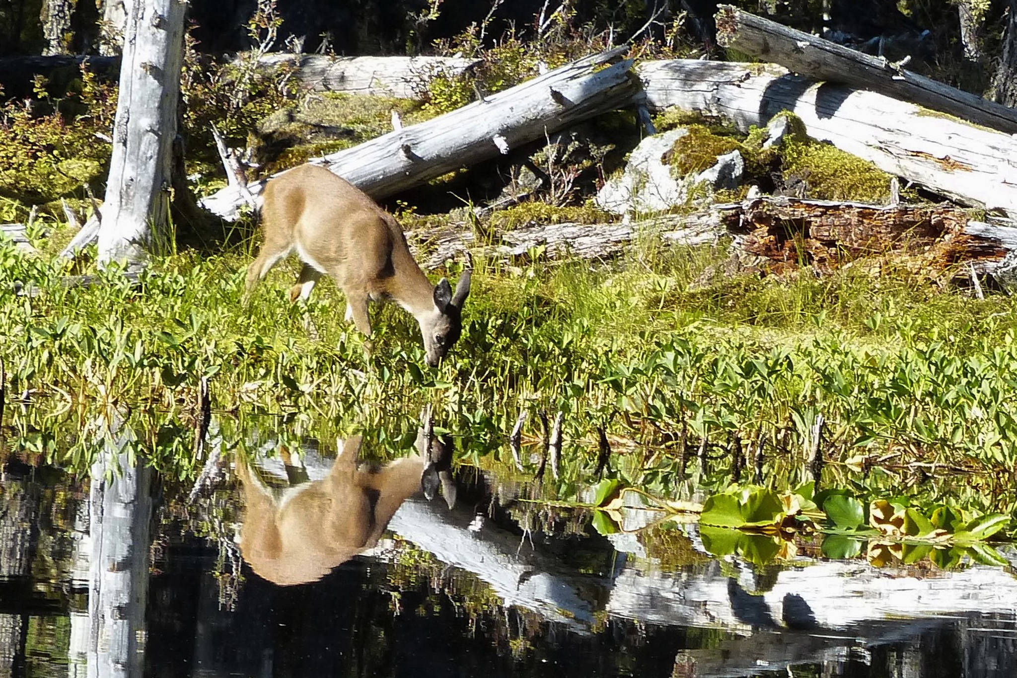 A doe is mirrored by her reflection as she forages in the pond. (Courtesy Photo | Pam Bergeson)