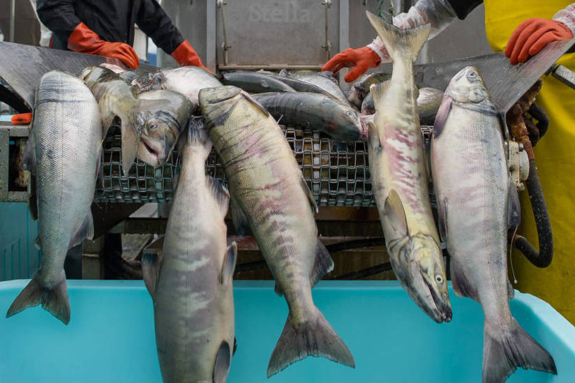 Chum salmon are loaded into a tote at Alaska Glacier Seafoods in this Juneau Empire file photo. (Michael Penn | Juneau Empire)