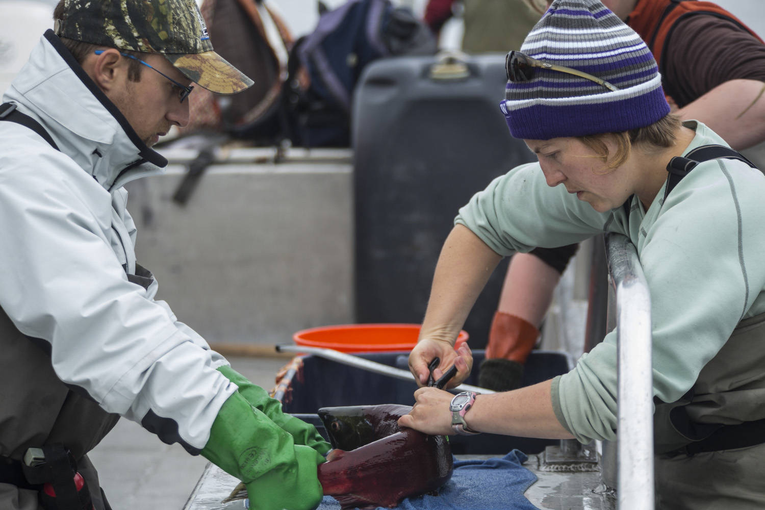 University of Washington researchers Martini Arostegui, left, and Jackie Carter tag sockeye salmon in 2015. (Courtesy Photo | Dennis Wise via University of Washington)