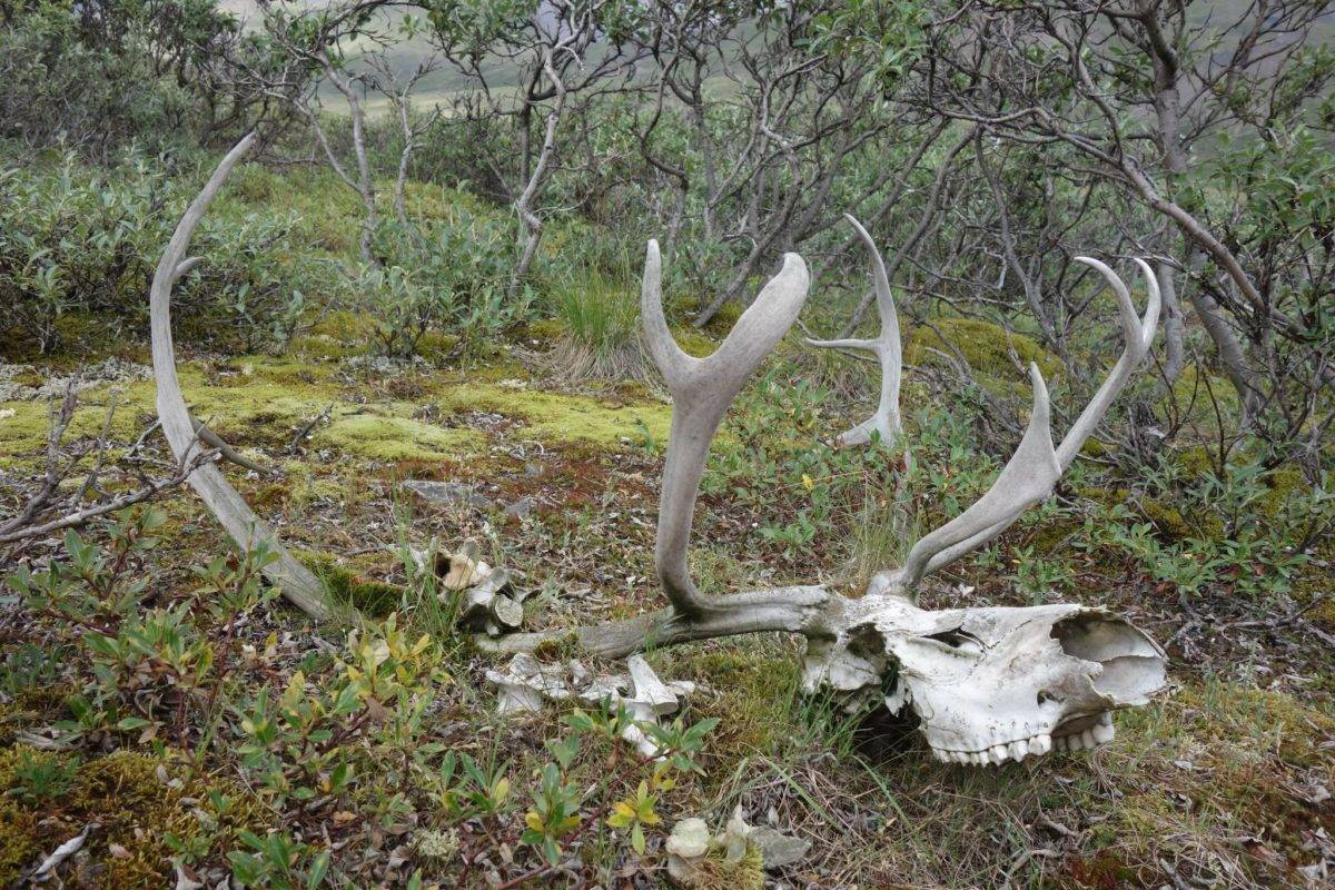 The remains of a caribou not far from the Dalton Highway north of Atigun Pass. (Courtesy Photos | Ned Rozell)
