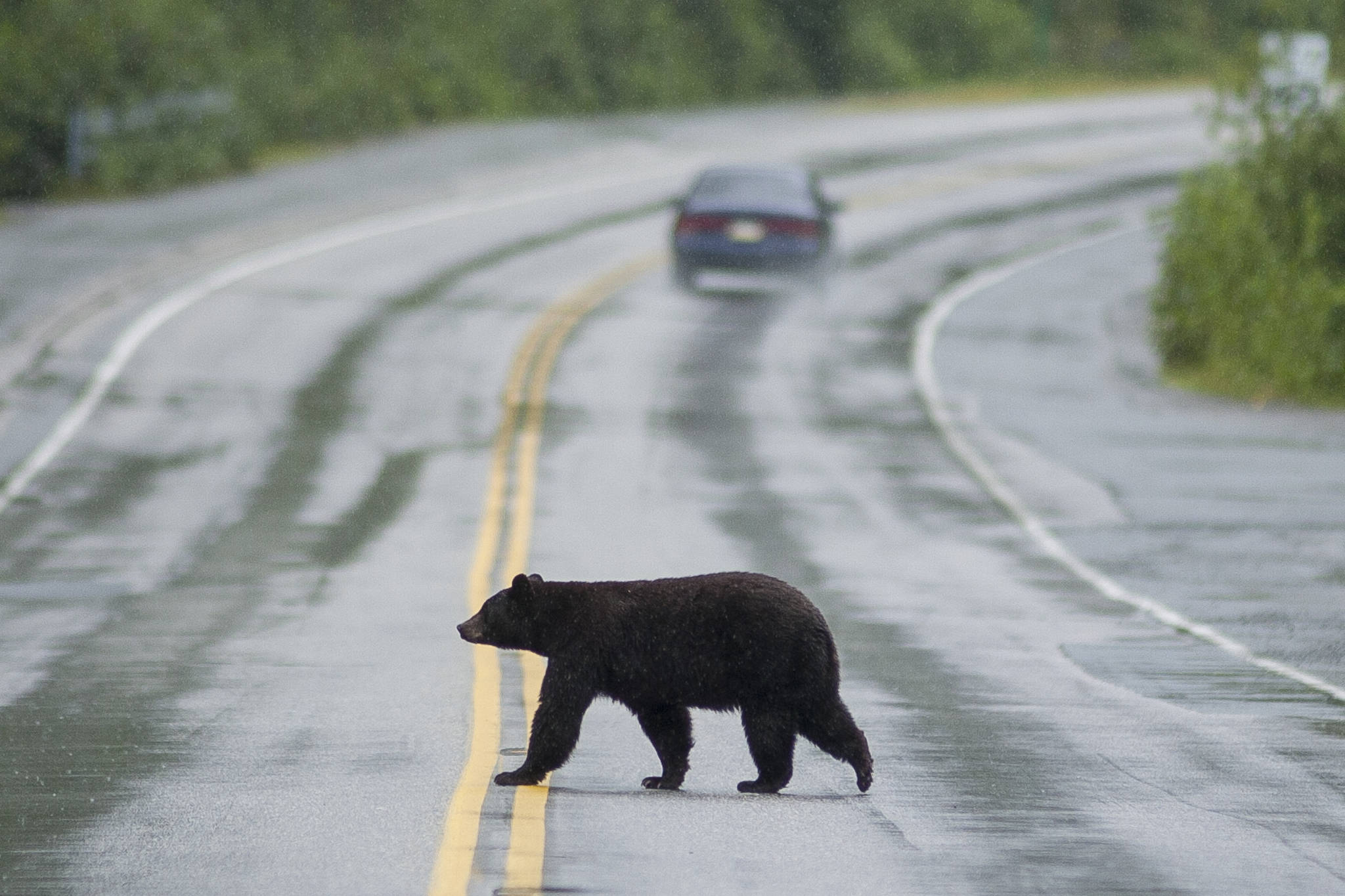 A black bear crosses the Glacier Spur Road in August 2008. This is likely not the bear that was hit and killed this past weekend. (Michael Penn | Juneau Empire)