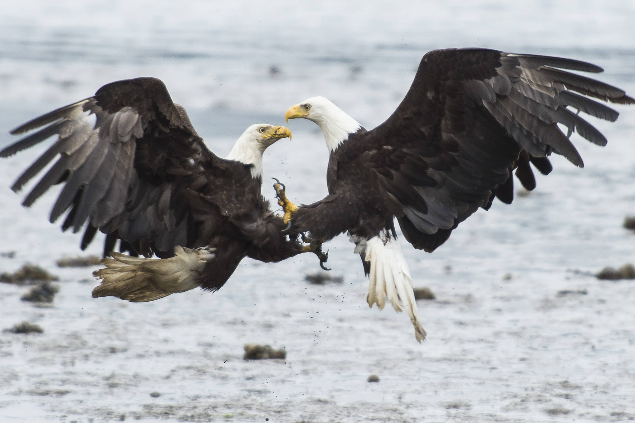 Bald eagles fight over salmon on the outgoing tide near the Macaulay Salmon Hatchery on Tuesday, July 17, 2018. (Michael Penn | Juneau Empire File)