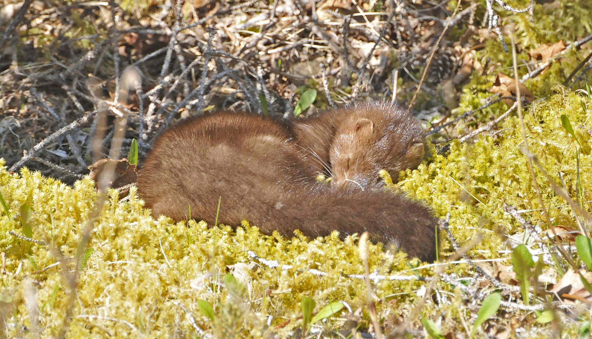 A sleeping mink. (Courtesy Photo | Bob Armstrong)