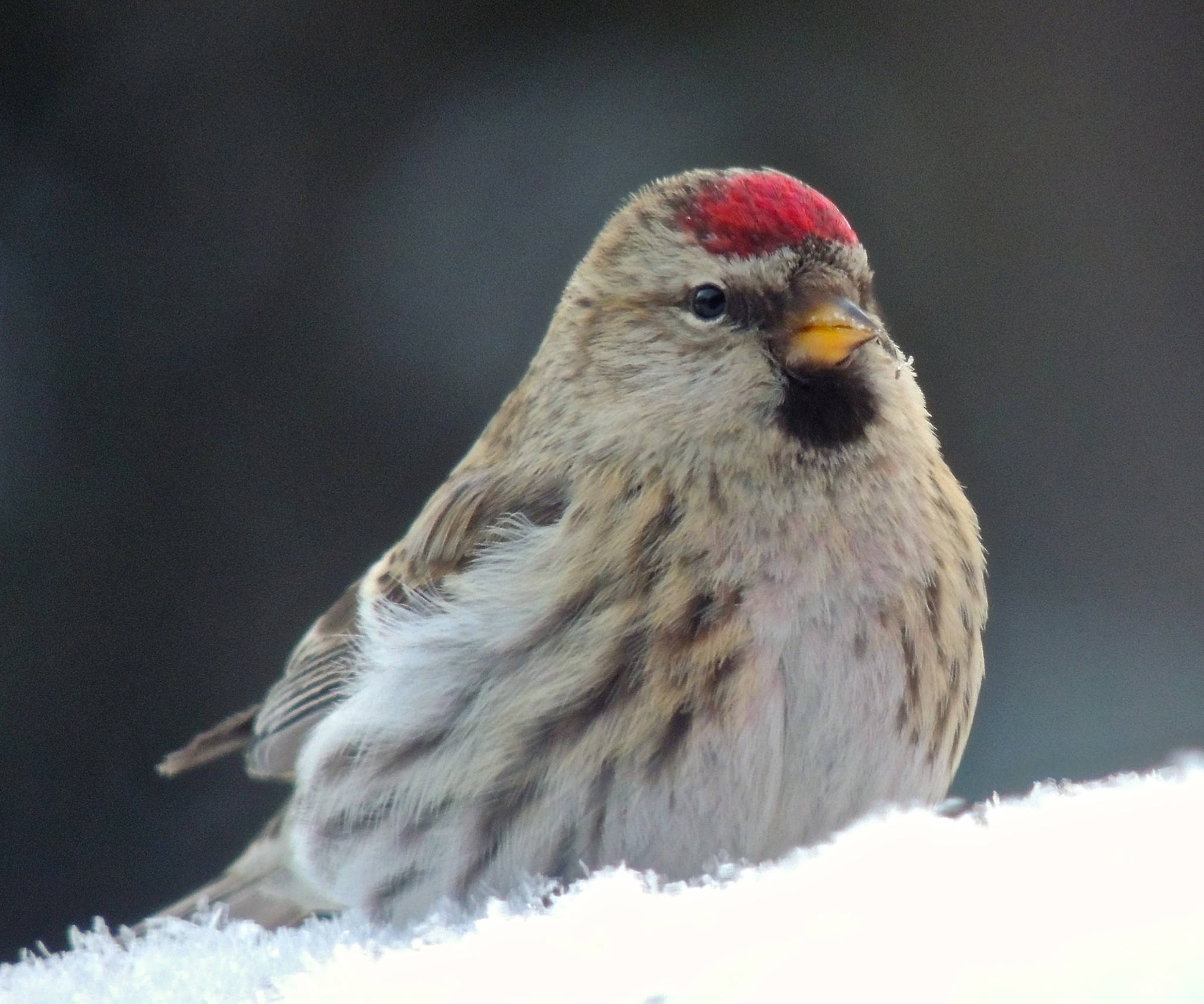 Common redpolls in Fairbanks. (Courtesy Photo | Anne Ruggles)