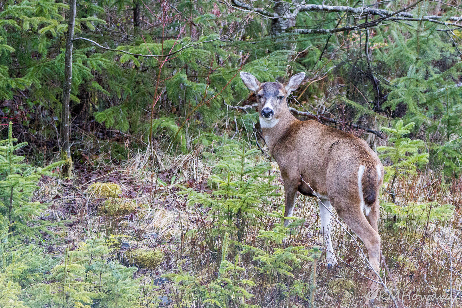 A Sitka black-tailed deer. (Courtesy Photo | Kerry Howard)