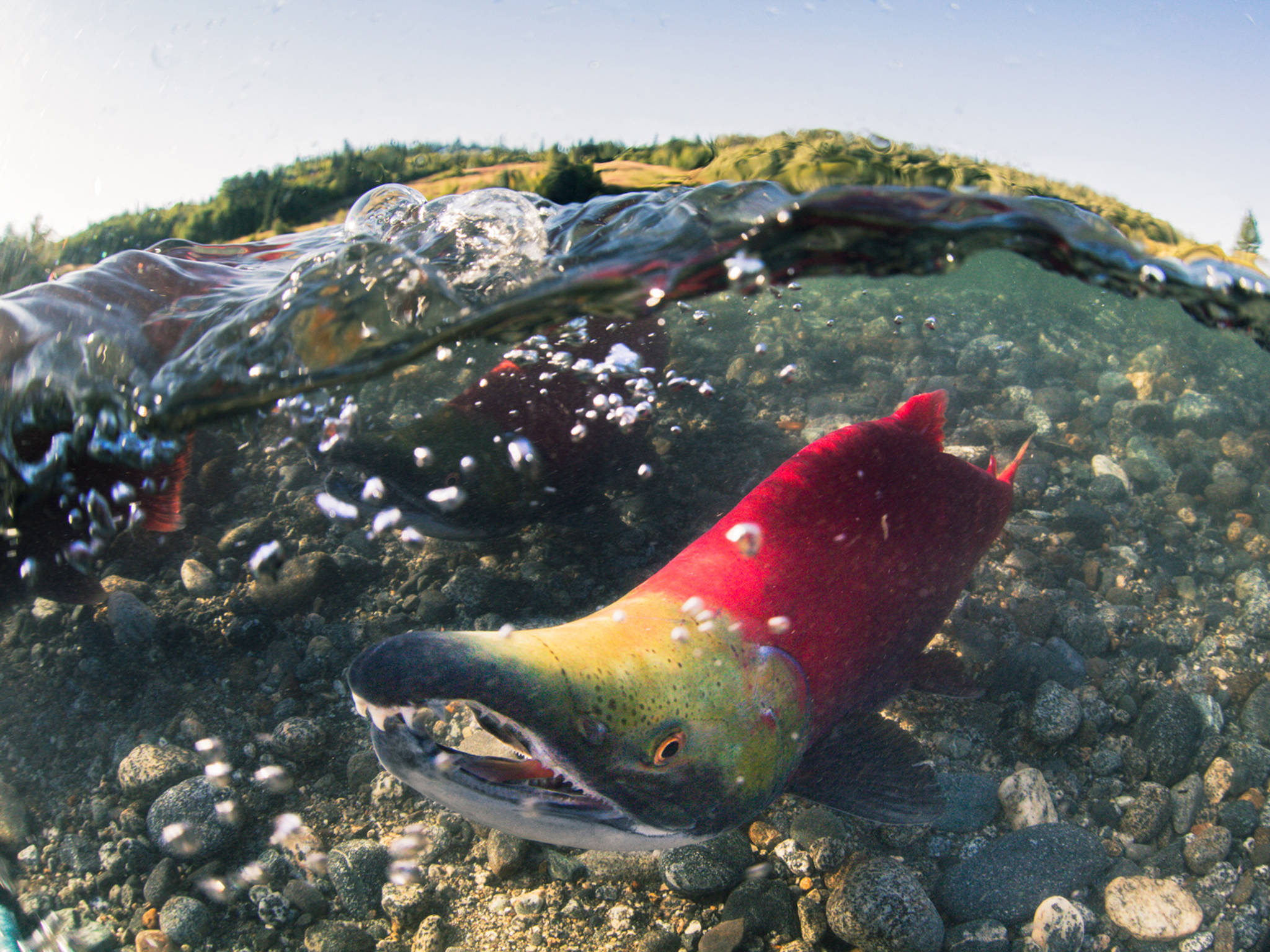 This honorable mention photo from the International Year of the Salmon photo challenge shows a sockeye salmon swimming upstream to spawn. (Courtesy Photo | Jason Ching)