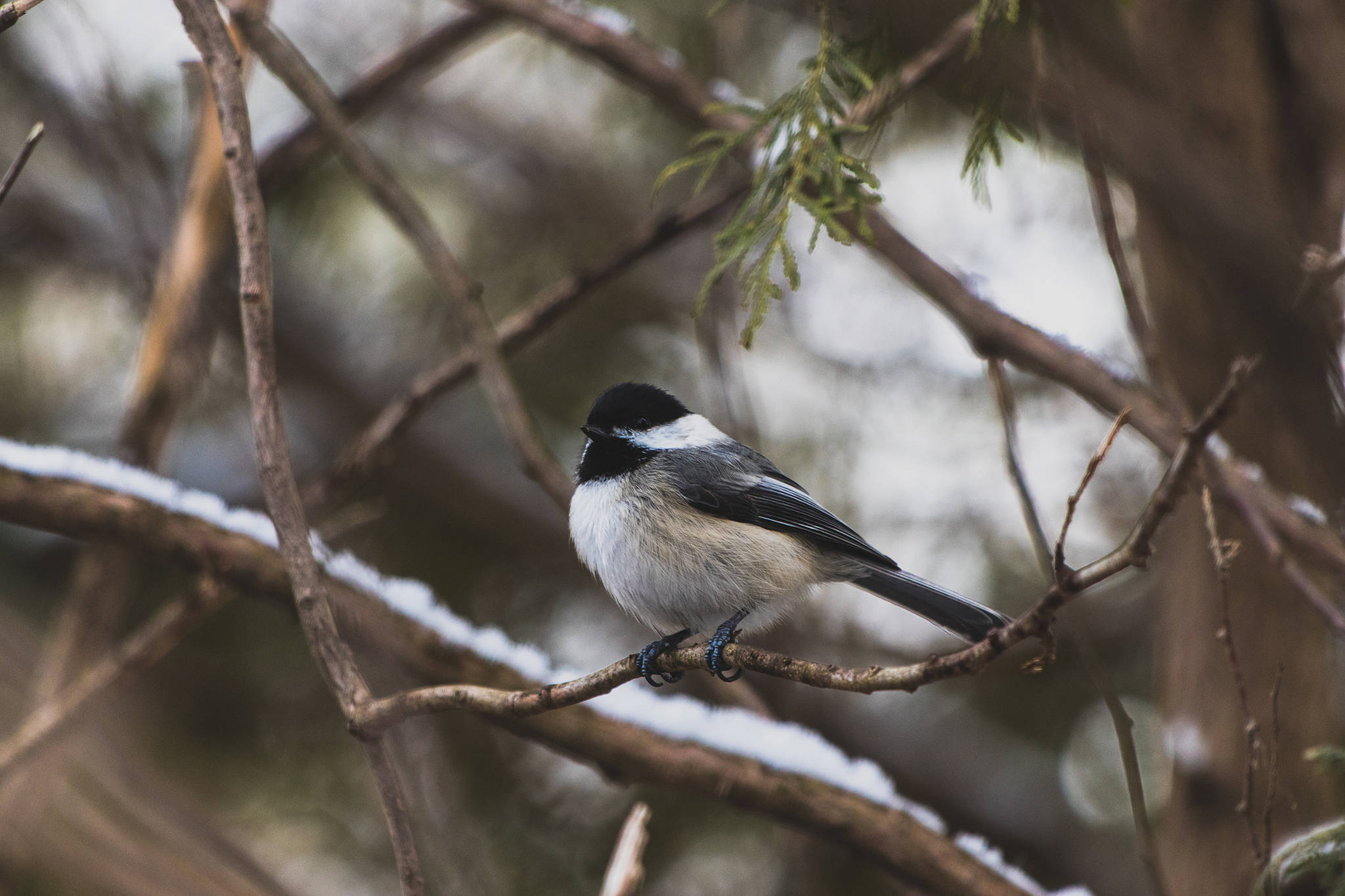 Writers' Weir: Chickadee Politics
