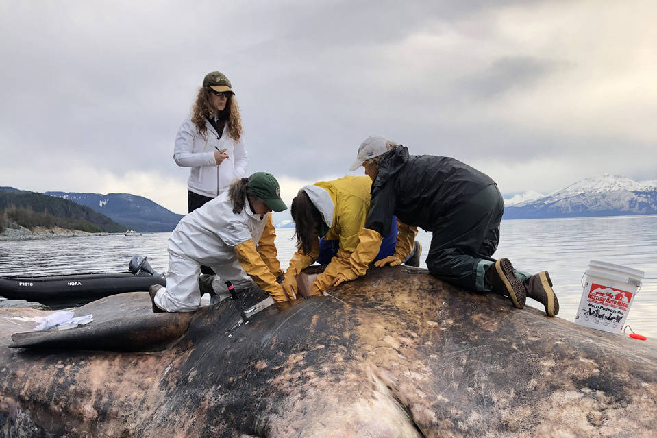 An historic first, a stolen jaw and squid beaks for lunch: Here's what scientists are making of the sperm whale beached near Juneau