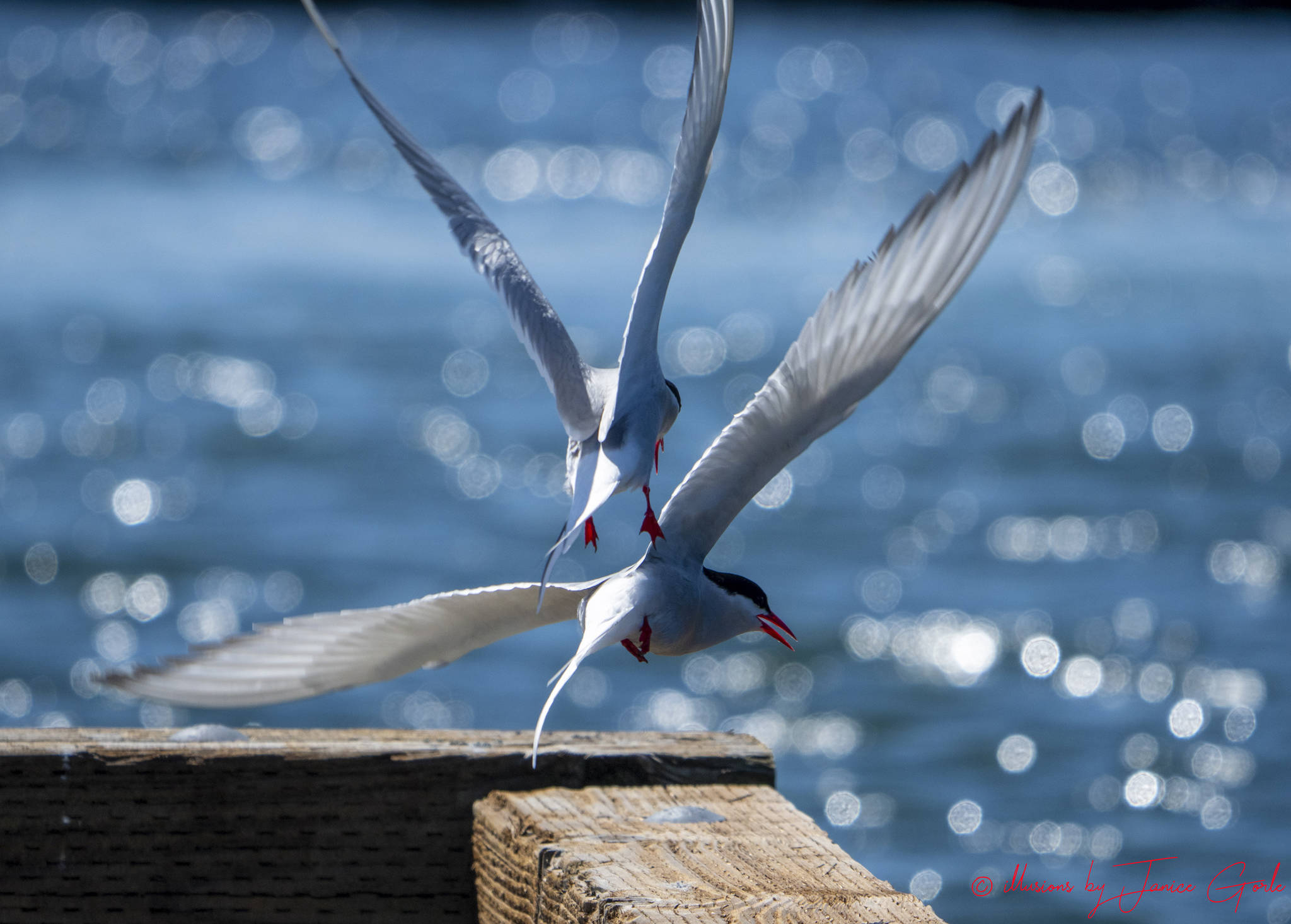 Arctic terns return to Juneau on May 12, 2019. (Courtesy Photo | Janice Gorle)