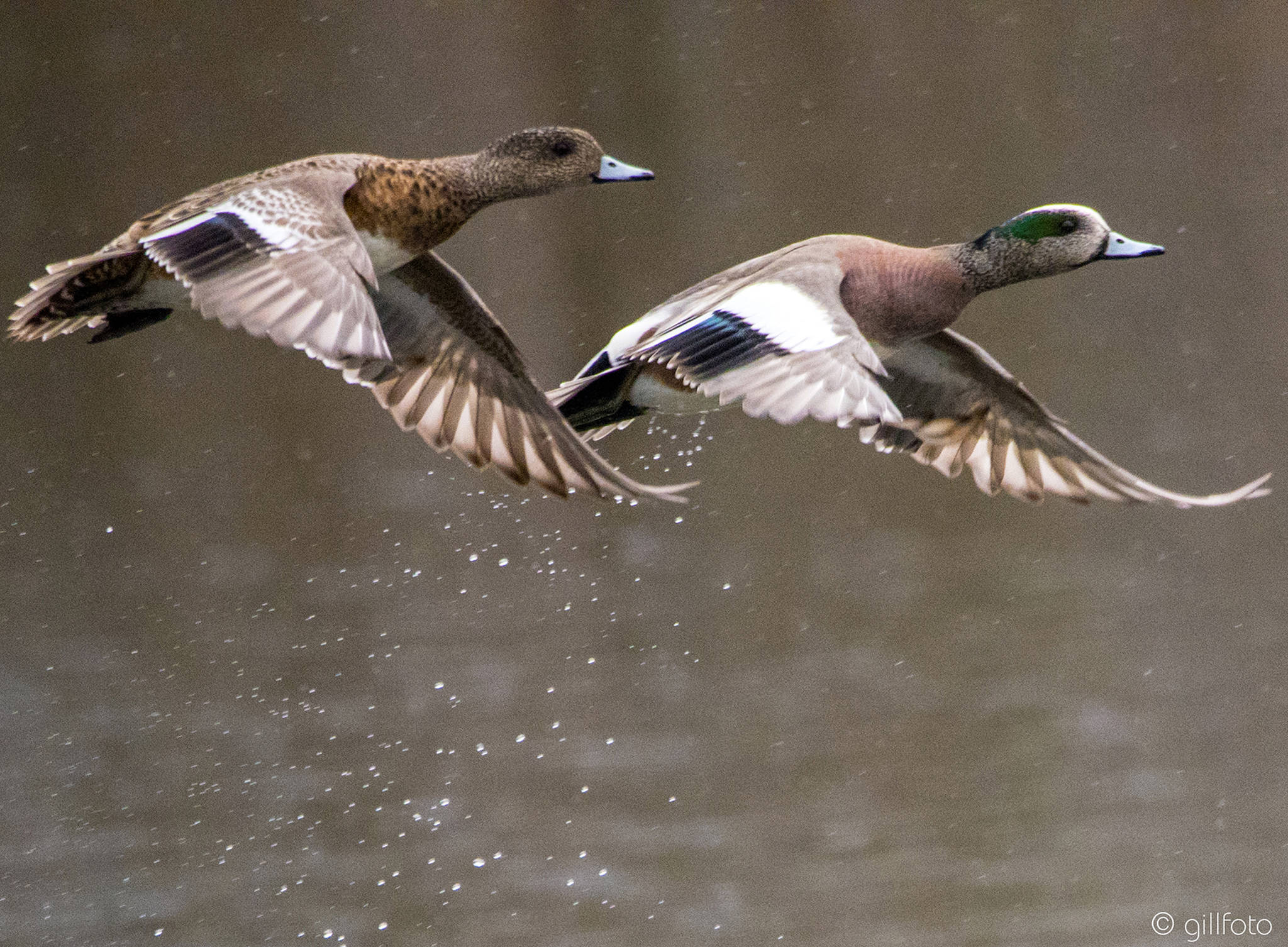A pair of American wigeon take flight at Rotary Park in Juneau on April 23, 2019. (Courtesy Photo | Kenneth Gill)