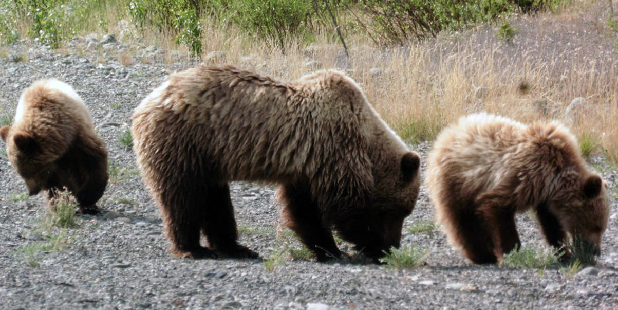 Courtesy Photo | <strong>Denise Carroll</strong>                                 A grizzly sow and her cubs lunch on new spring greens May 30, on the Alaska Highway.