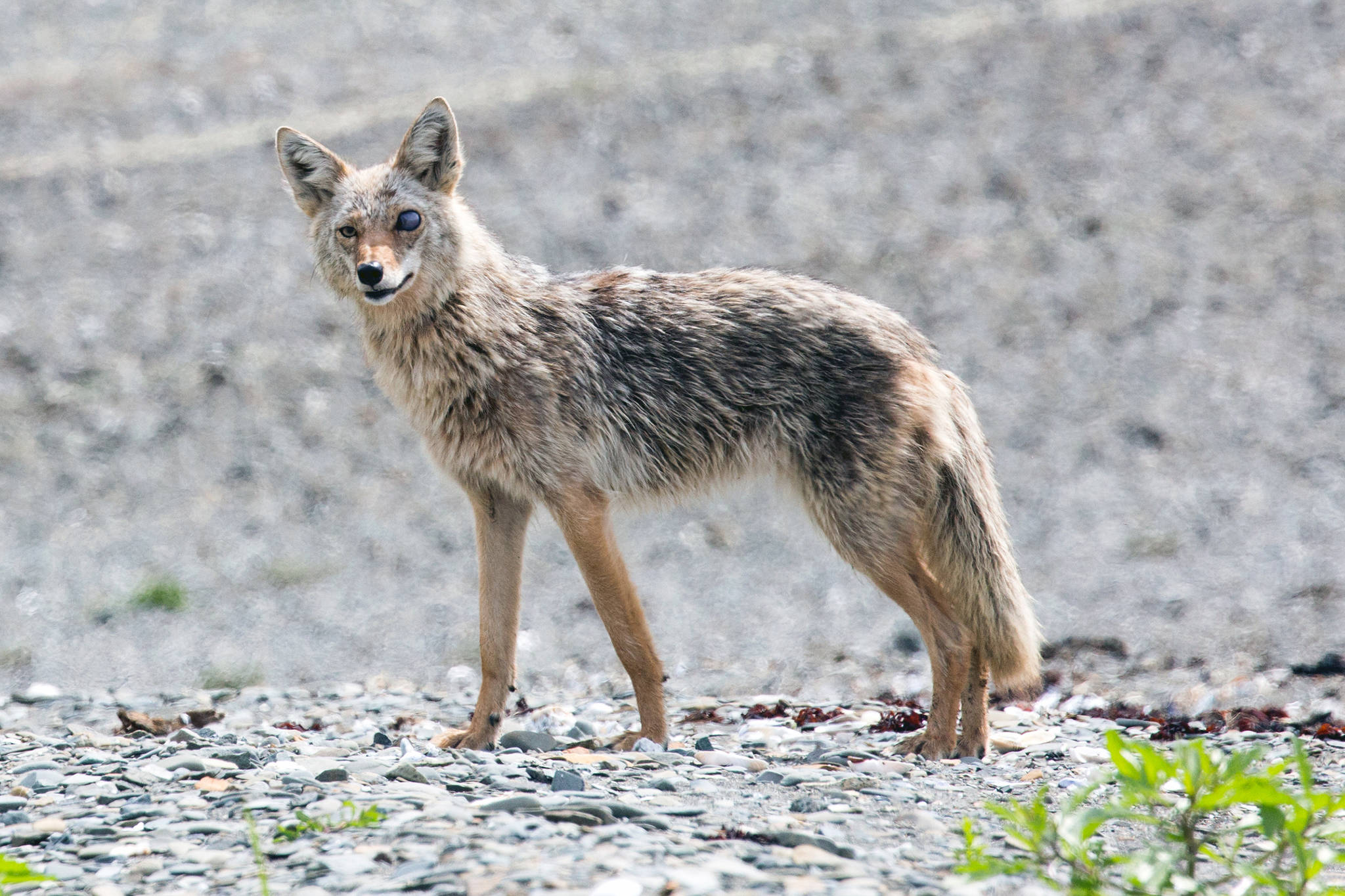 A coyote is seen on a beach near Excursion Inlet on June 8, 2019. The eye trauma may have been the result of a tangle with a porcupine, the photographer guessed. (Courtesy Photo | Jack Beedle)