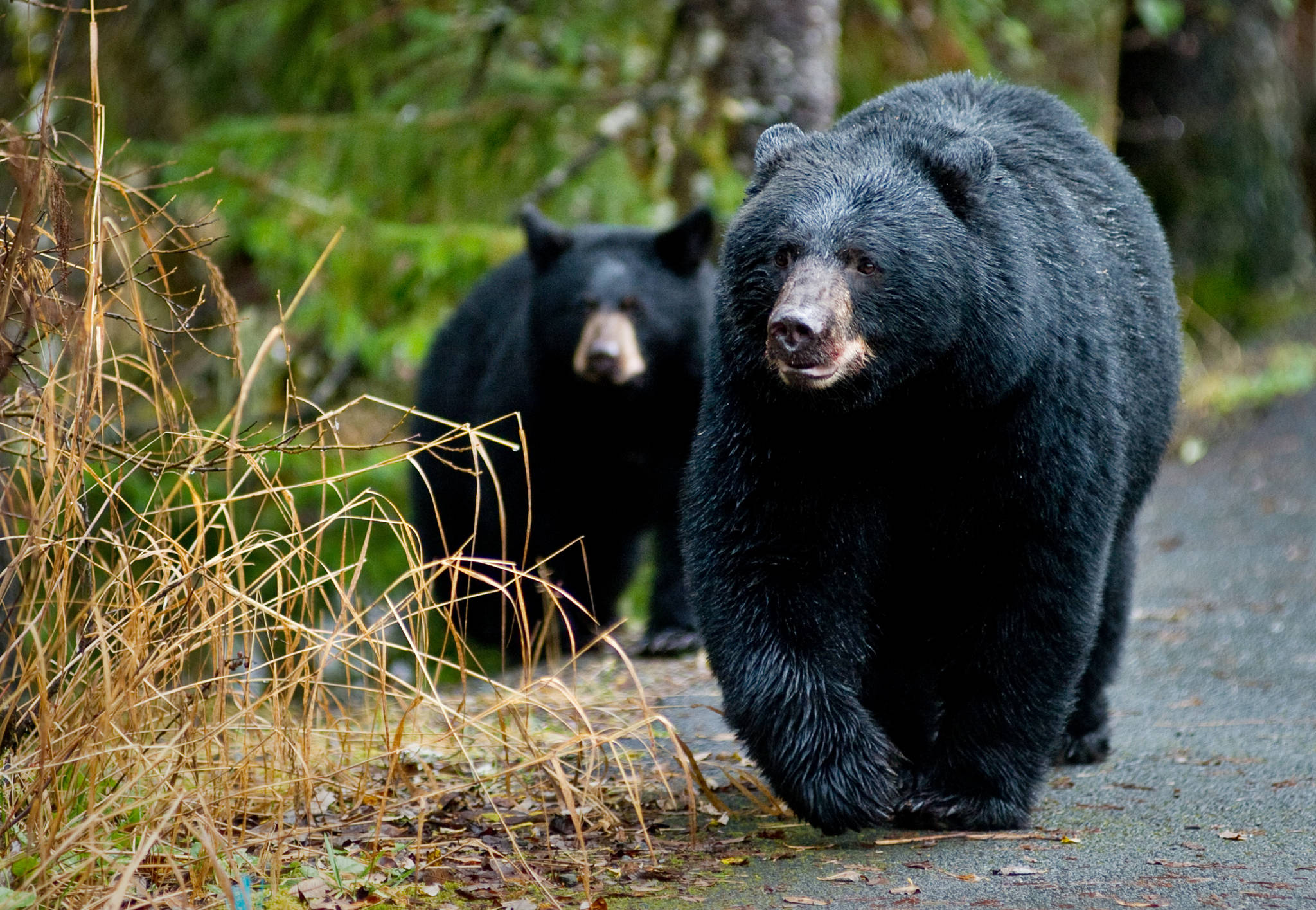 A black bear sow and her cub walk along the Trail of Time at the Mendenhall Glacier Visitor Center in 2014. The pair had just finished eating a freshly caught coho salmon from Steep Creek and moved into the forest in search of ground cones. (Michael Penn | Juneau Empire File)