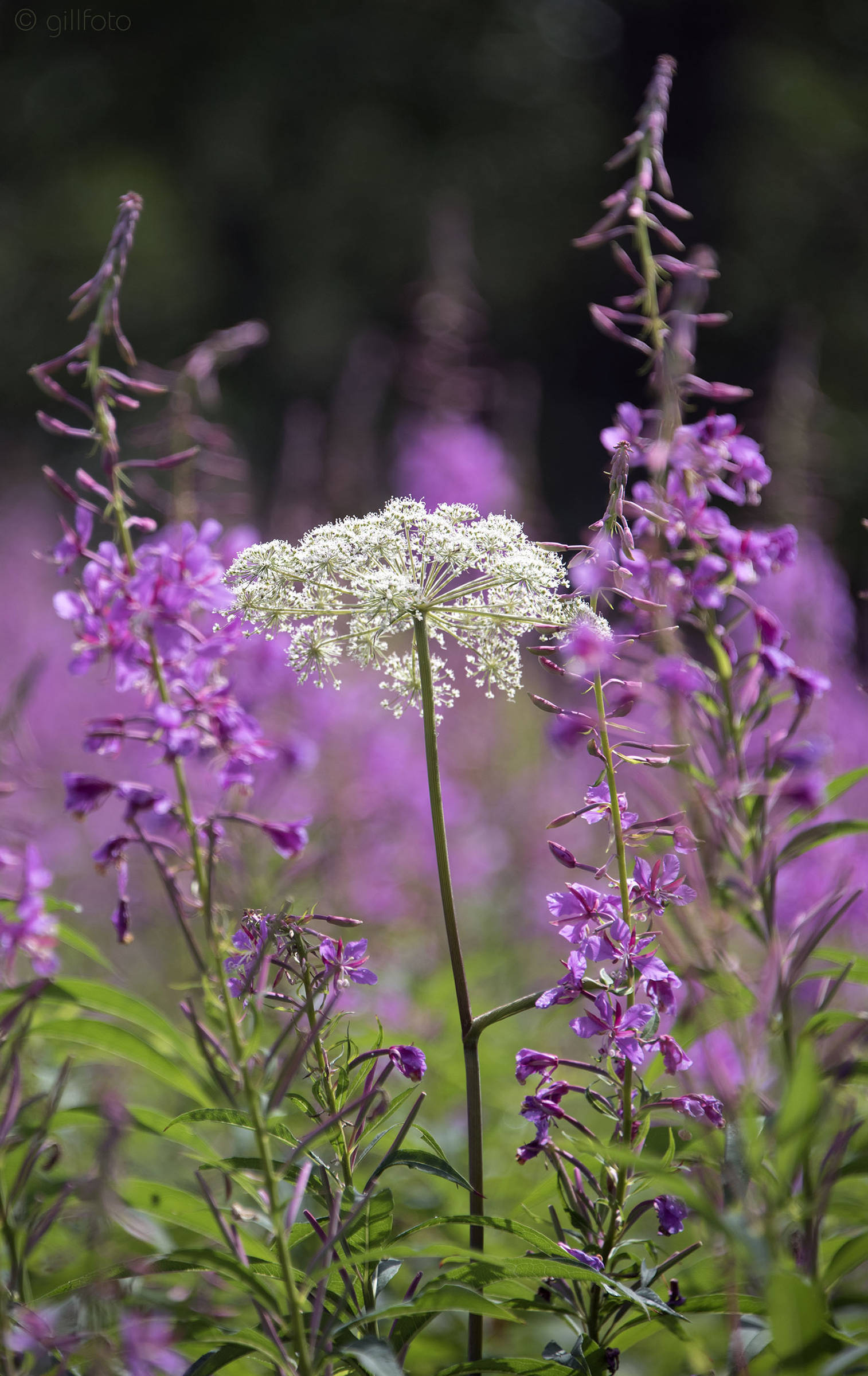 Fireweed surrounds a solo parsley plant in Cowee Meadow in Point Bridget State Park on Sunday, July 21, 2019. (Courtesy Photo | Kenneth Gill)
