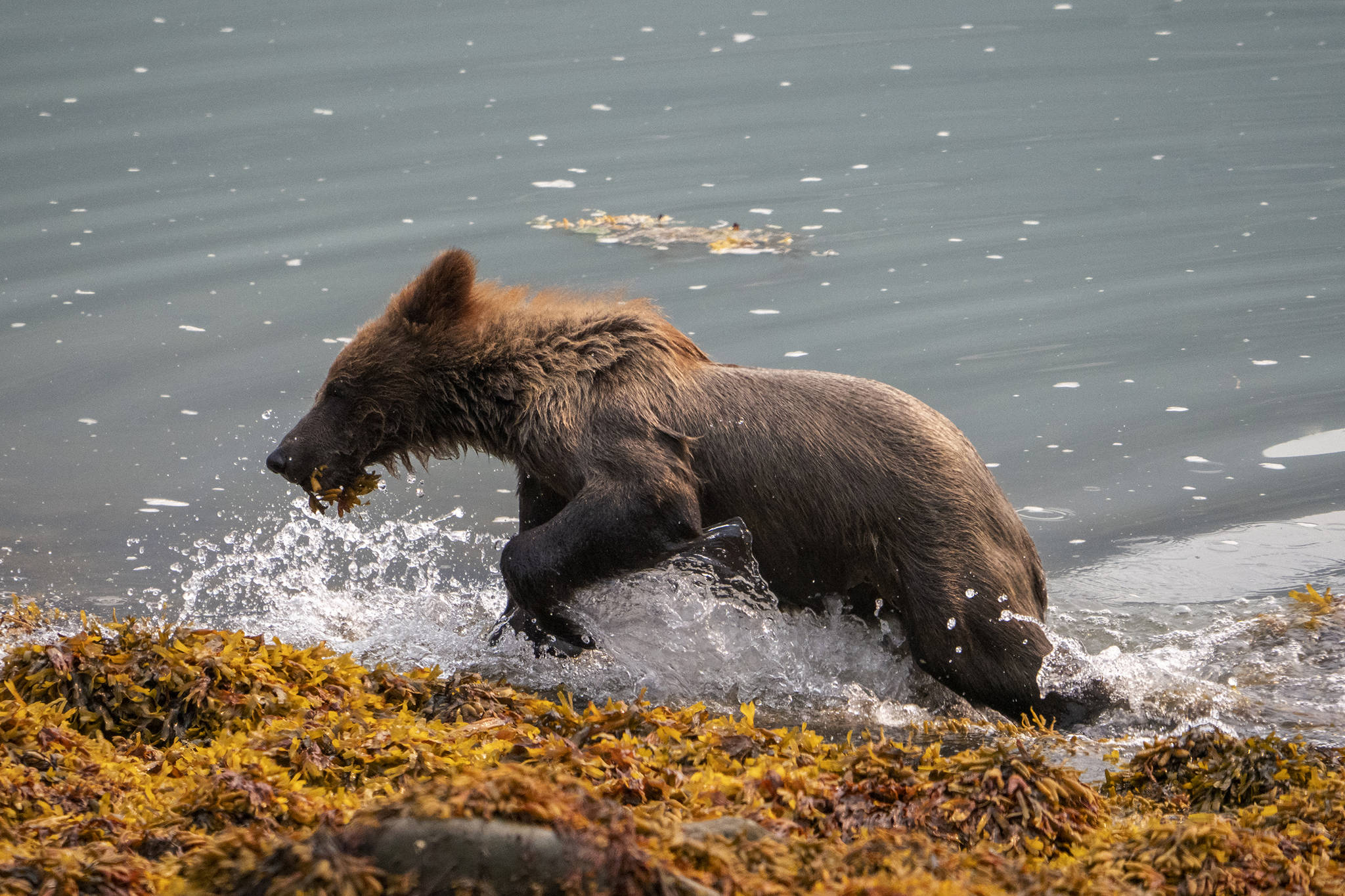 A brown bear cub plays in Lutak Inlet outside of Haines on July 10, 2019. (Courtesy Photo | Janice Gorle)