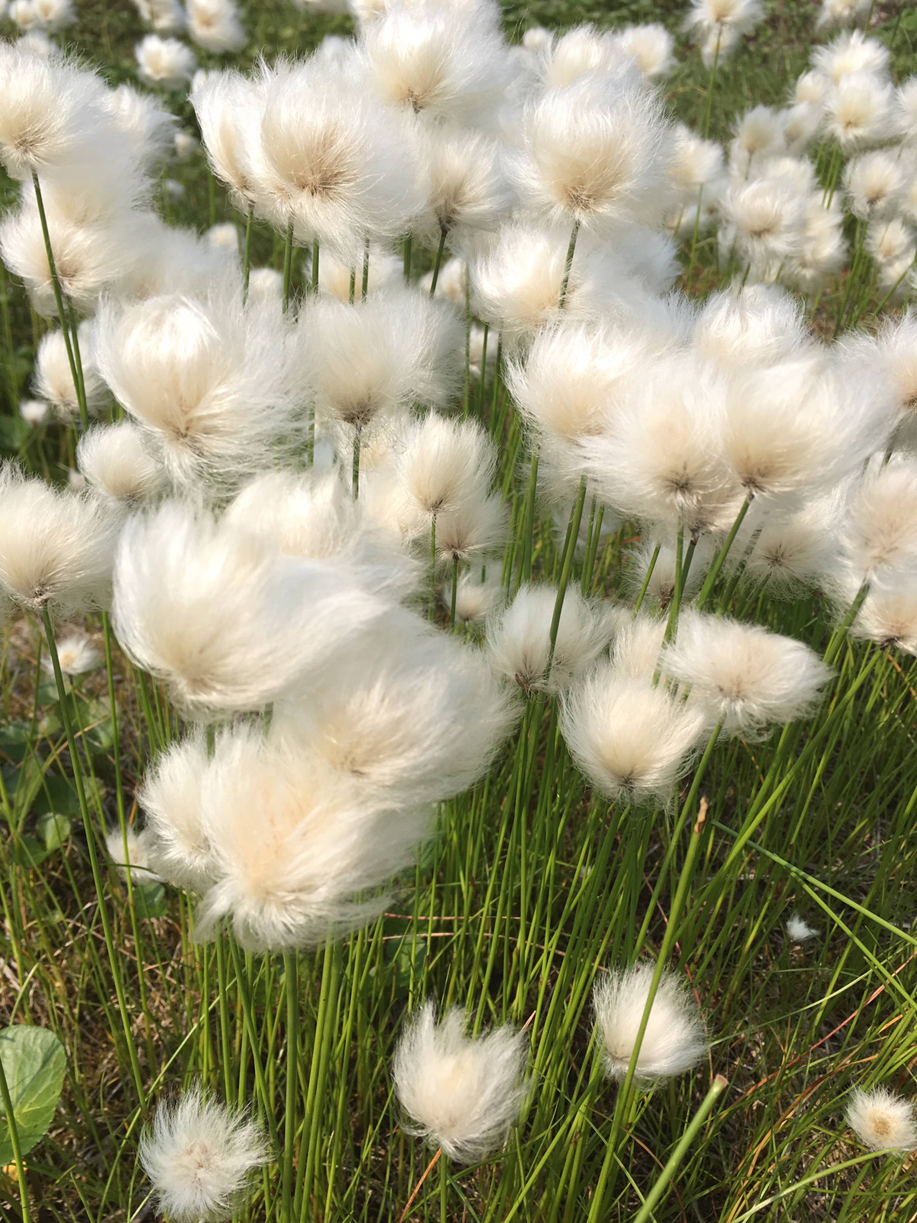 Cottongrass pictured July 10, 2019. (Courtesy Photo | Deborah Rudis)