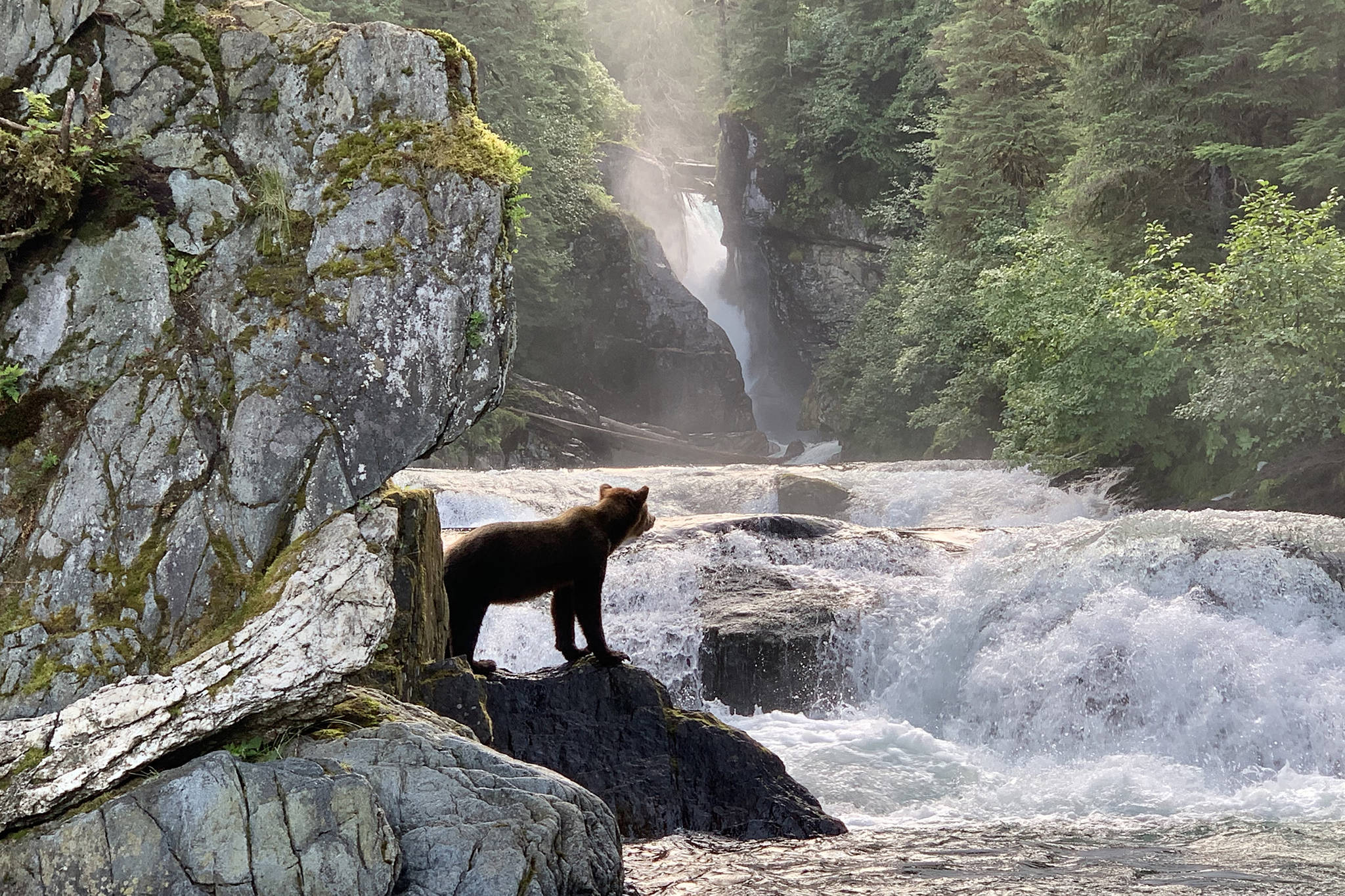 A bear looks out over Sweetheart Creek on Tuesday, July 30, 2019. (Courtesy Photo | Kim Hollingsworth)