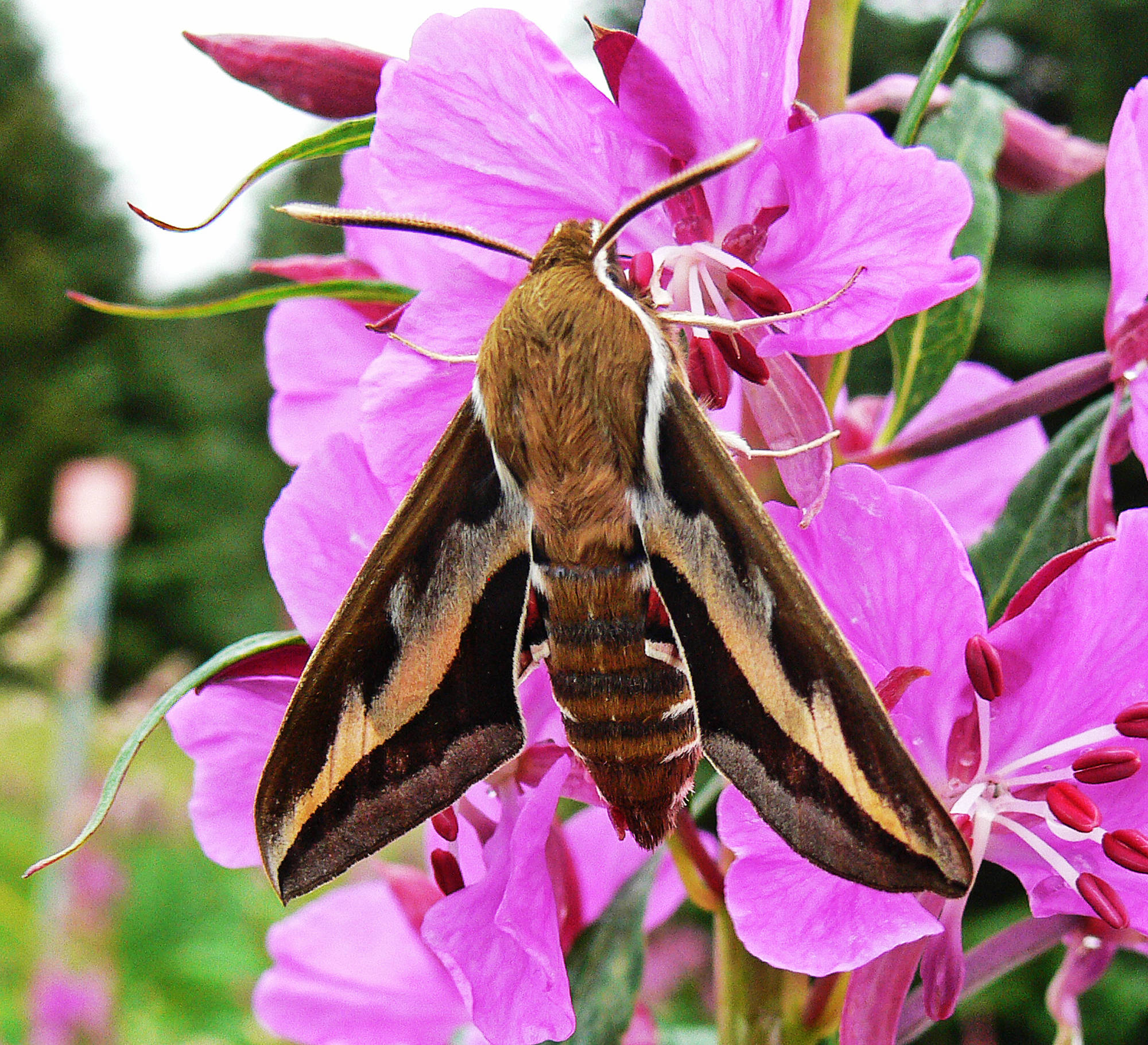 Many hawk moths have long proboscides suitable for extracting nectar from the long nectar spurs of certain flowers. (Courtesy photo   Bob Armstrong)