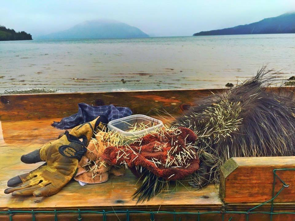 Quill harvesting takes place on a fish cleaning table at Mickey's Fishcamp in Wrangell. (Vivian Faith Prescott photographer)