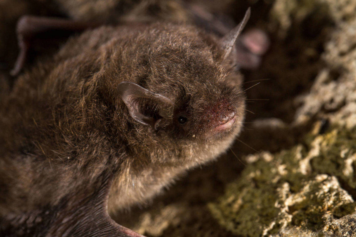A little brown bat. (Courtesy Photo | Alaska Department of Fish and Game)