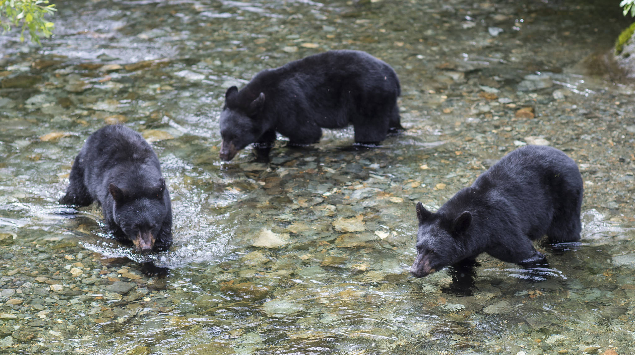 Michael Penn | Juneau Empire File                                 Three 2-year-old black bear cubs hunt spawning sockeye salmon in Steep Creek at the Mendenhall Glacier Visitor Center in August 2018.