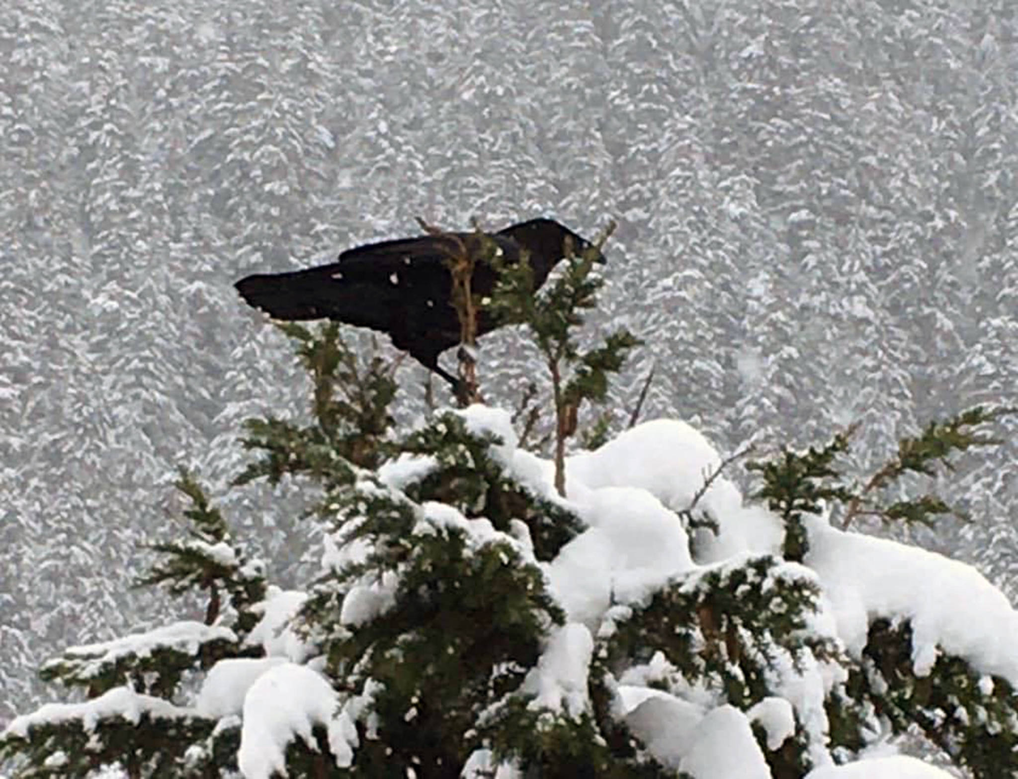 A raven perches on top of a tree in the Costco parking lot on Feb. 3. (Courtesy photo | Barbara Belknap)