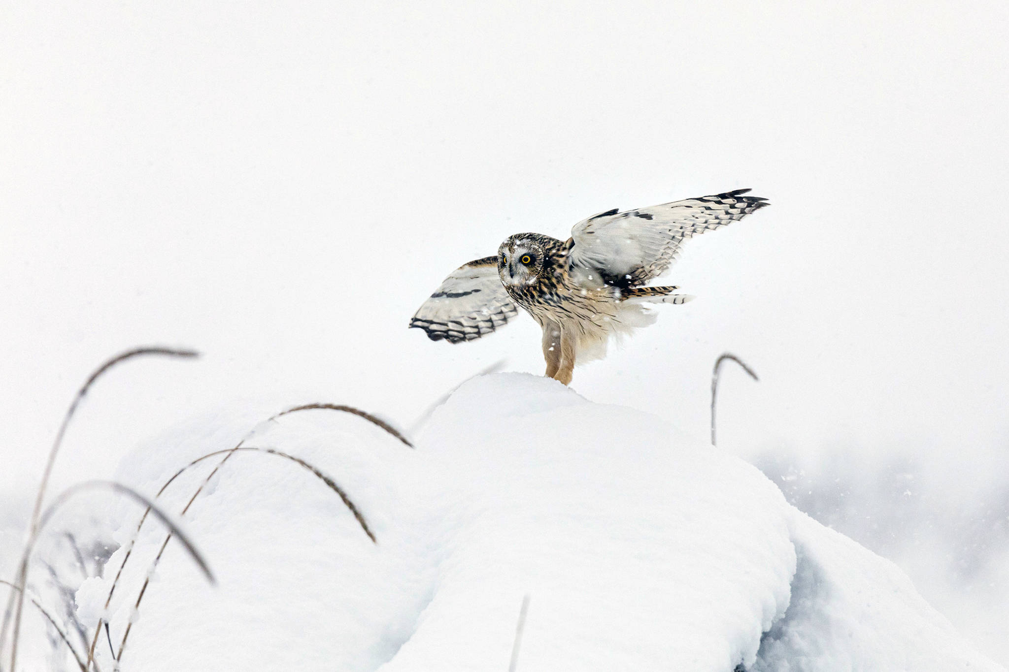 A short-eared owl lands on the snowy ground in Juneau on Jan. 30. (Courtesy photo | Gina Vose)
