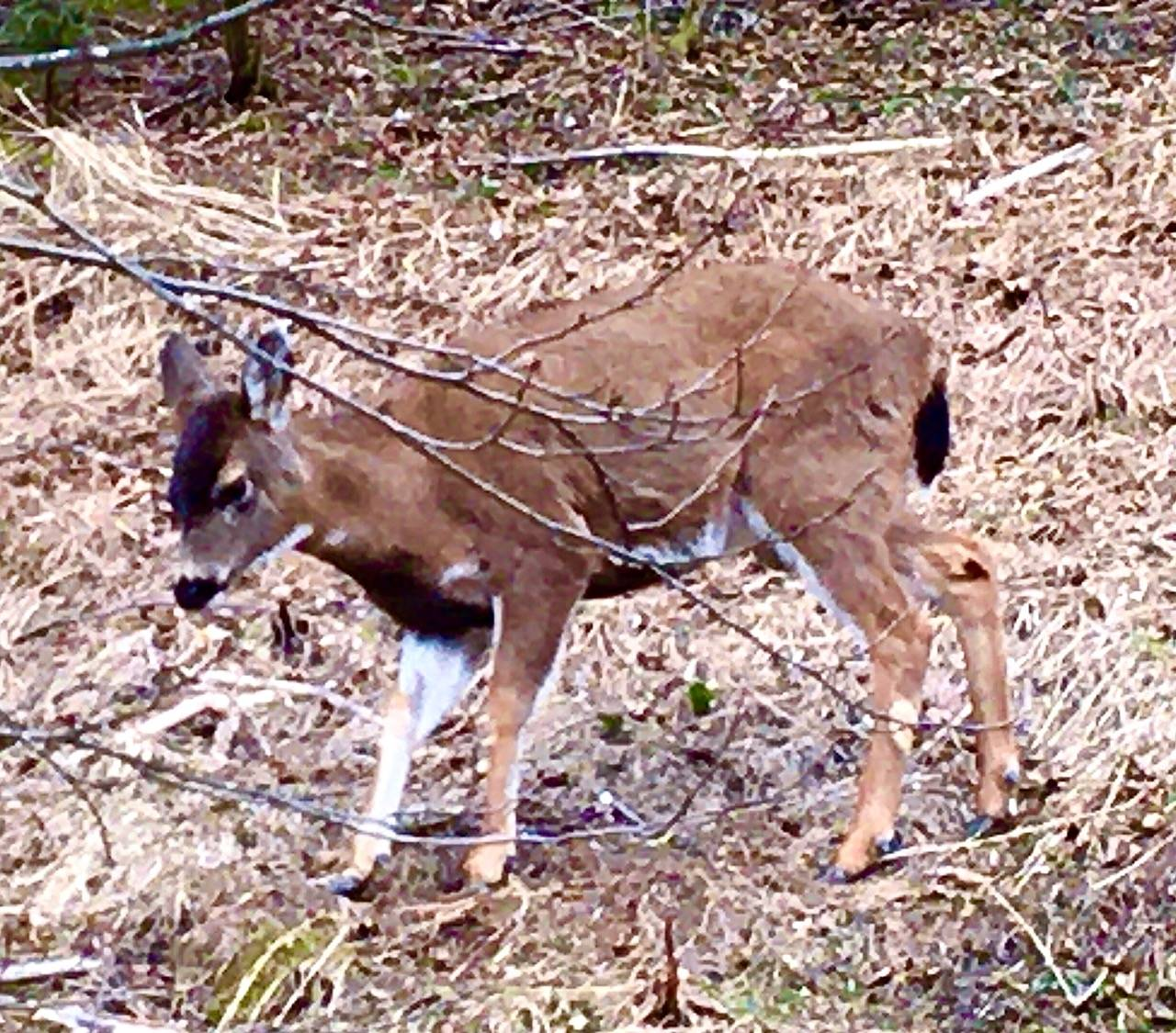 A young black-tailed Sitka deer forages next to Thane Road. (Courtesy Photo | Denise Carroll)
