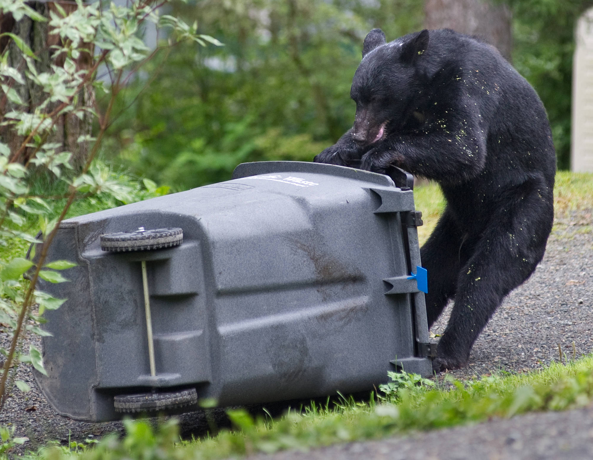 A black bear sow attempts to open a Pacific Waste garbage container in the Bonnie Brae subdivision on Douglas Island in July 2013. Water and wasted service won't be discontinued for Juneauites in light of the ongoing pandemic. (Michael Penn   Juneau Empire file)
