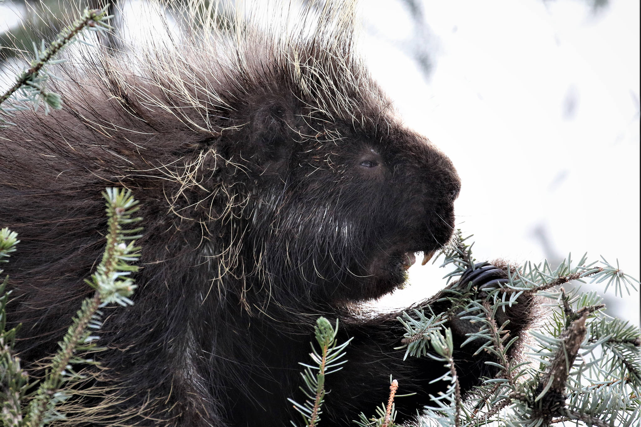 A porcupine enjoys eating spruce tips adjacent to the Mendenhall Glacier Visitor Center on April 5 (Courtesy Photo | Linda Shaw)