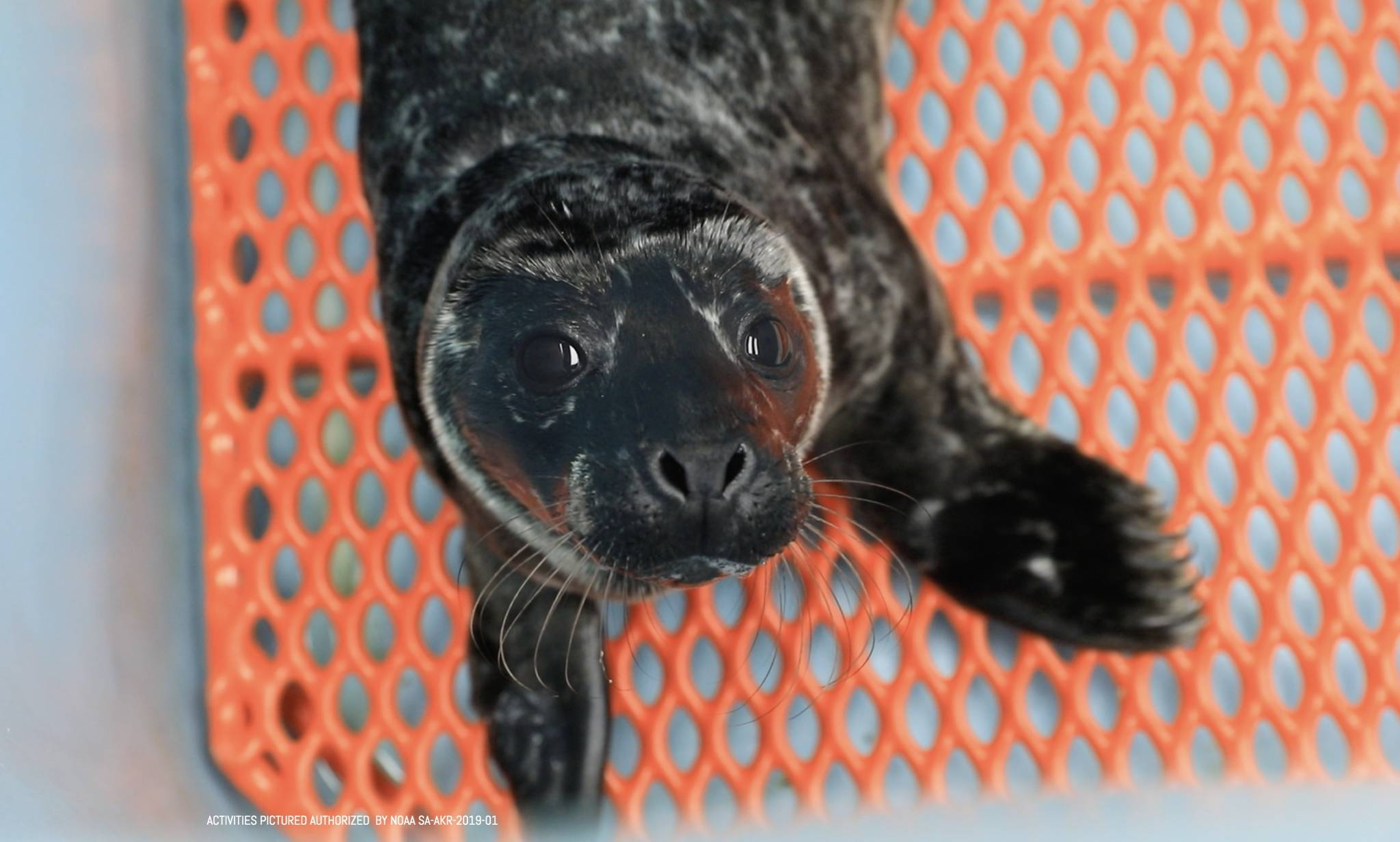 Courtesy Photo | SeaLife Center                                  This harbor seal pup from Juneau is one of six to be admitted to the Alaska SeaLife Center in Seward.