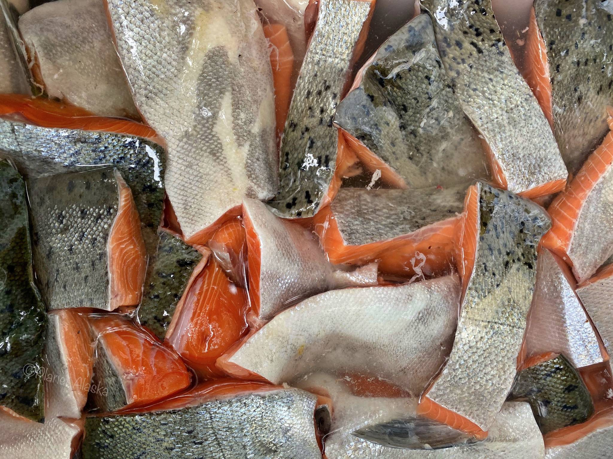 This photo shows king salmon in brine in Wrangell. (Vivian Faith Prescott | For the Capital City Weekly)
