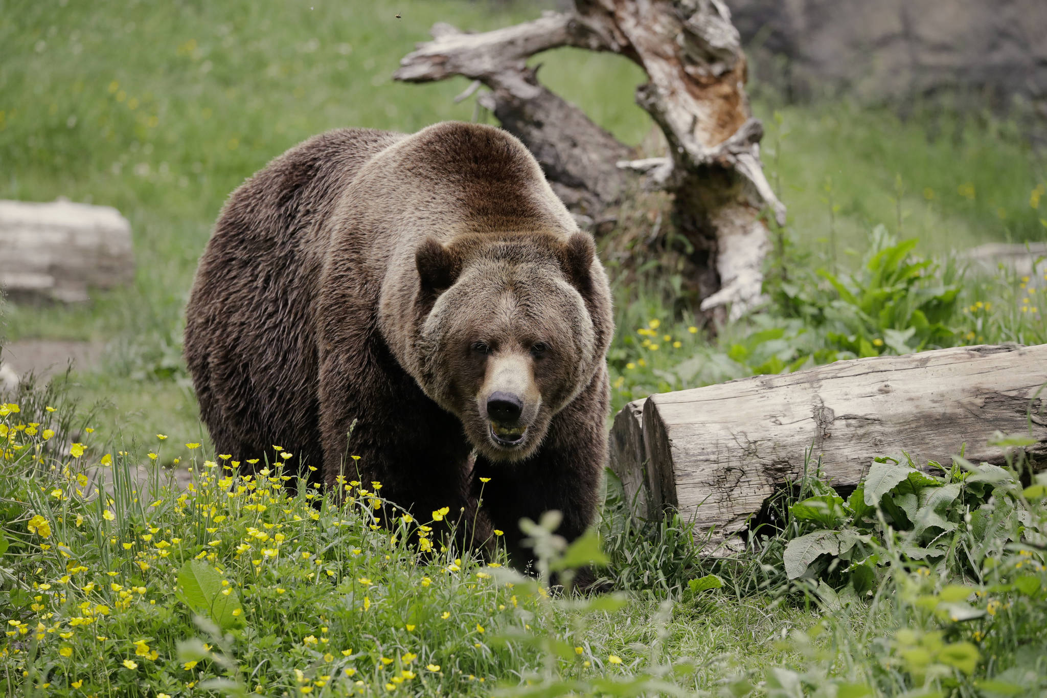 A grizzly bear roams an exhibit at the Woodland Park Zoo, closed for nearly three months because of the coronavirus outbreak in Seattle. Grizzly bears once roamed the rugged landscape of the North Cascades in Washington state but few have been sighted in recent decades. The federal government is scrapping plans to reintroduce grizzly bears to the North Cascades ecosystem. (AP Photo/Elaine Thompson, File)