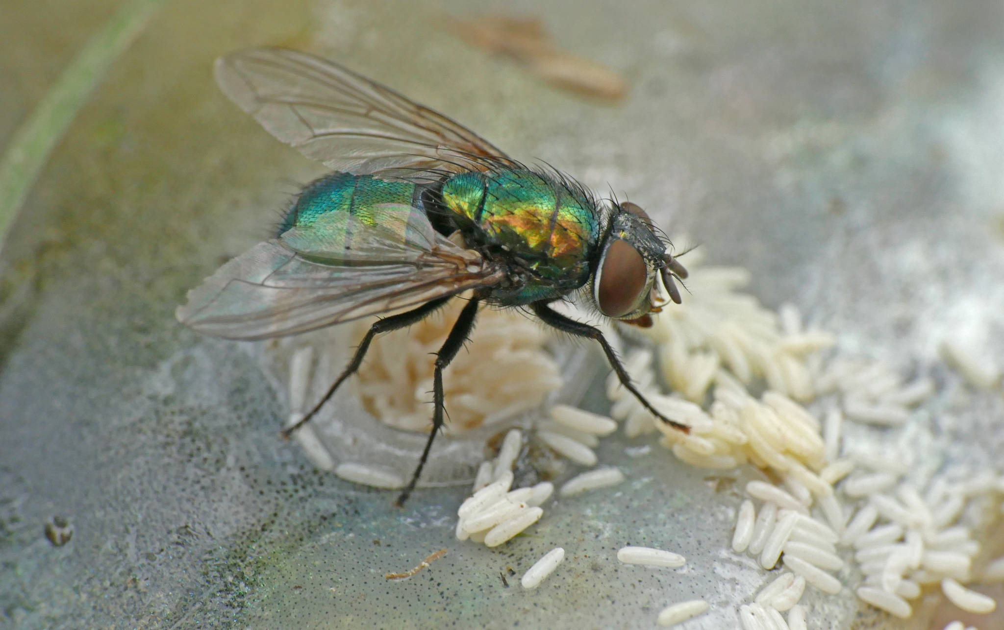 Courtesy Photo   Bob Armstrong                                 This iridescent blow fly was once a more plainly colored maggot. Arthropods, such as insects and crustaceans, and their distant relatives called nematodes (round worms) are two groups that live complex life cycles.