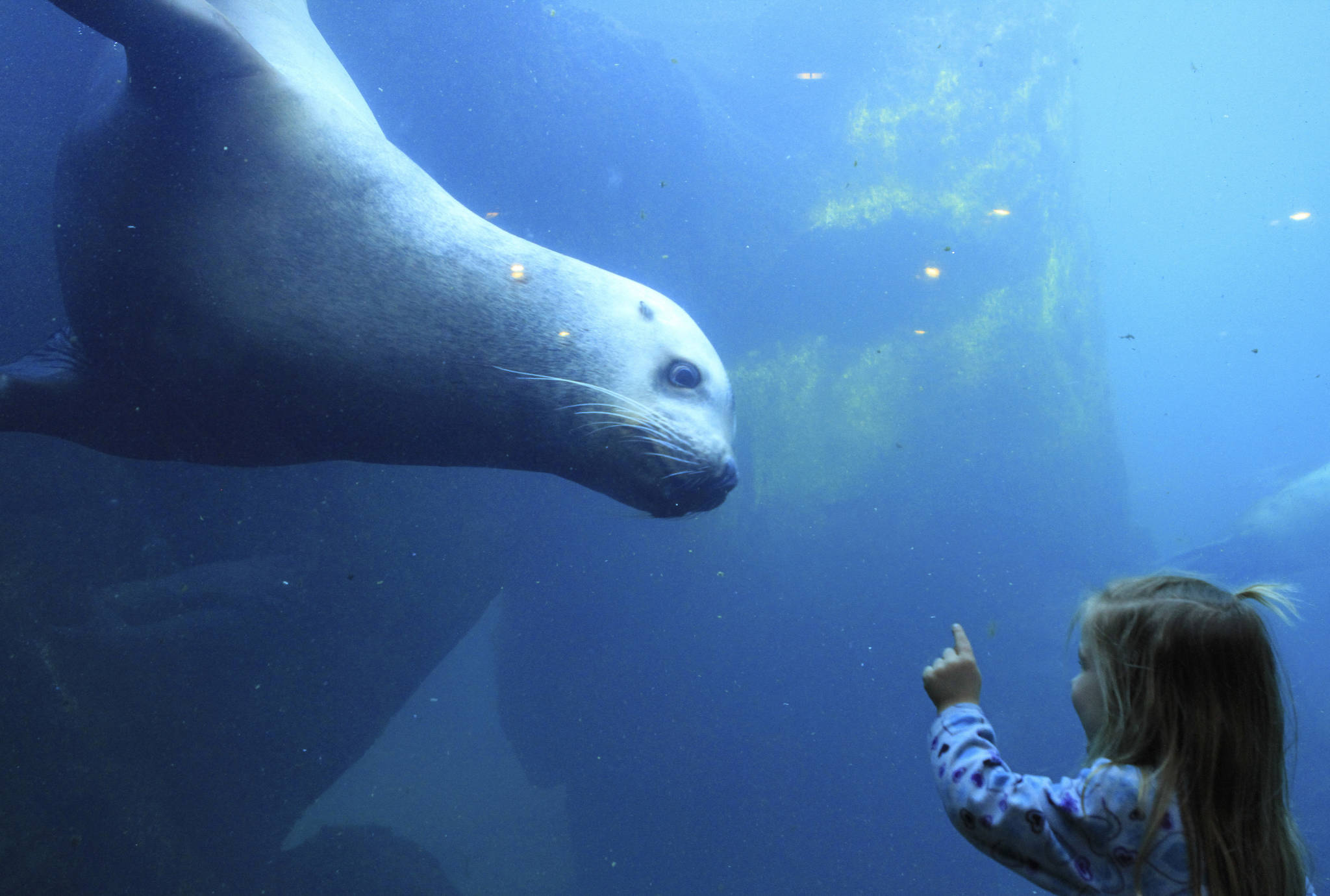 Elin Lunoe, and Pilot, a Steller sea lion, check each other out at a tank at the Alaska SeaLife Center in Seward in this February 2015 photo. The Alaska SeaLife Center is in jeopardy of closing after concerns surrounding the coronavirus pandemic have drastically reduced visitation rates. (AP Photo | Dan Joling, File)