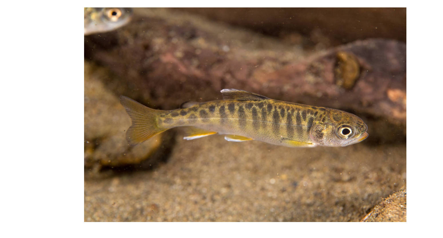 A juvenile Chinook salmon swims in Campbell Creek. (Courtesy Photo | Ryan Hagerty, U.S. Fish and Wildlife Service)