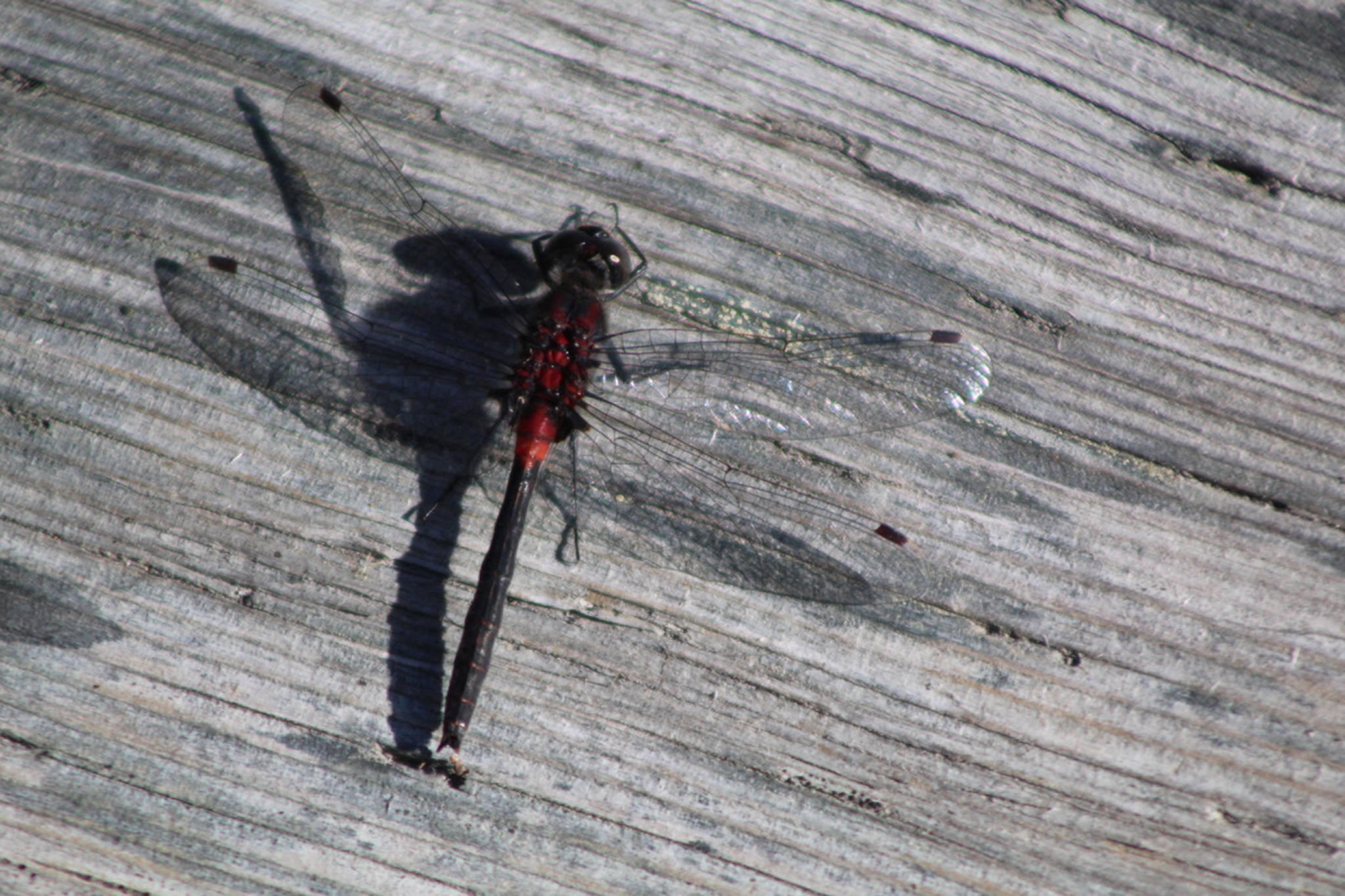 This dragonfly at the Kenai Wildlife Refuge in the last week of July 2020. (Courtesy Photo / Carolyn Kelley)