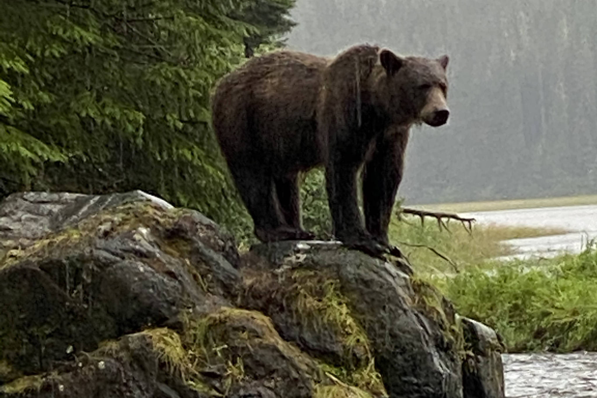 A brown bear stands at Sweetheart Creek on Aug. 9, 2020. (Courtesy Photo / Skippy Wilsonová)