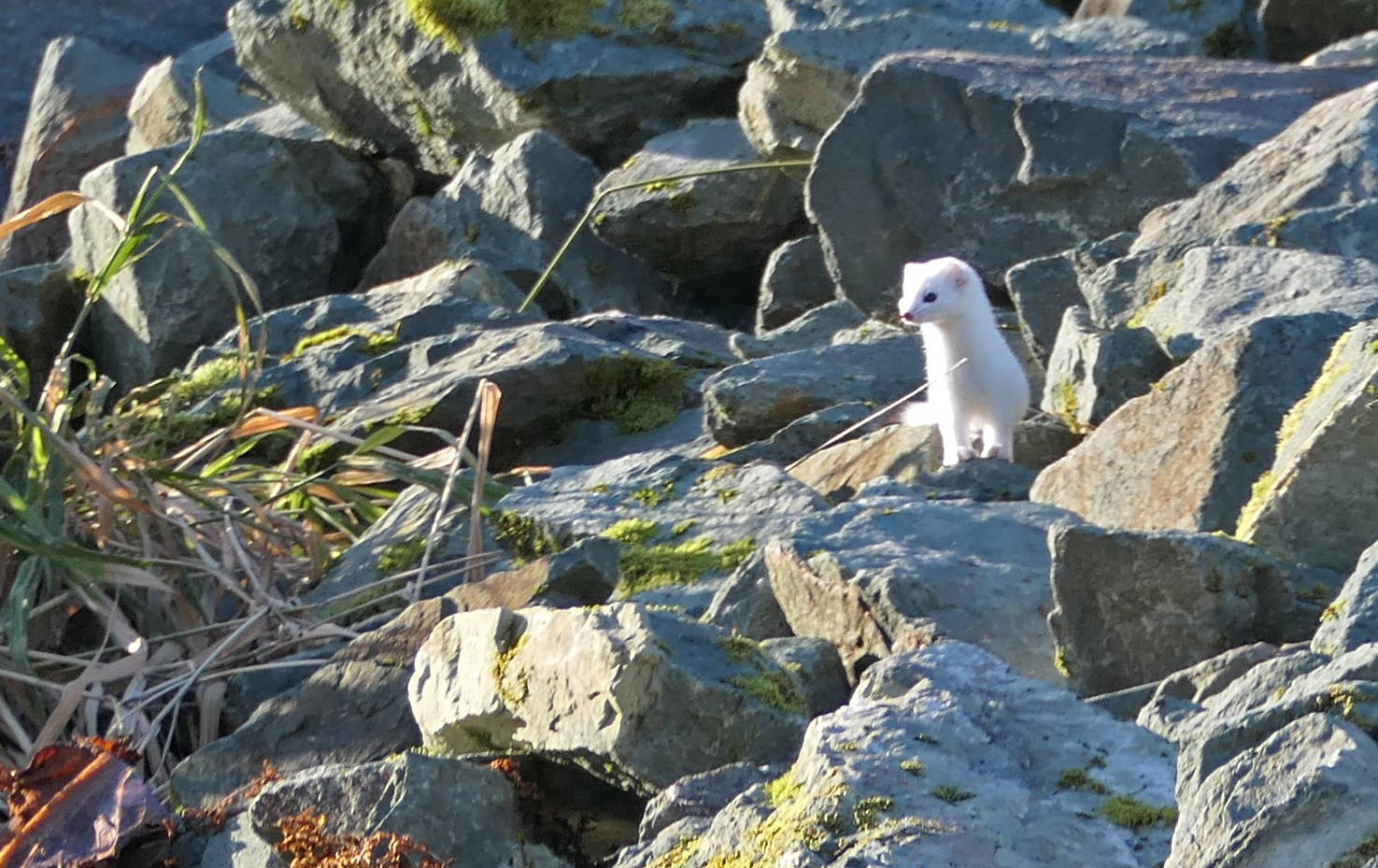 An ermine emerges to look around while exploring the crevices among the roadside rocks. While its white winter coat is conspicuous now, it will help it blend in with its surroundings during winter. (Courtesy Photo /David Bergeson)