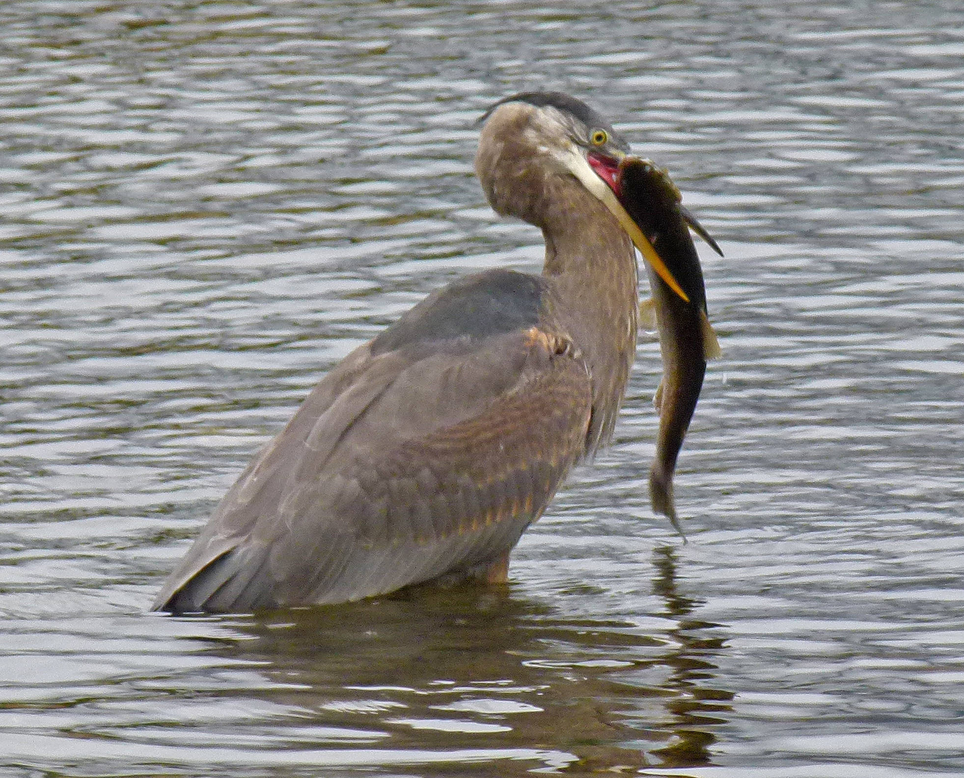 A great blue heron is about to swallow an adult Dolly Varden. (Courtesy Photo / Bob Armstrong)