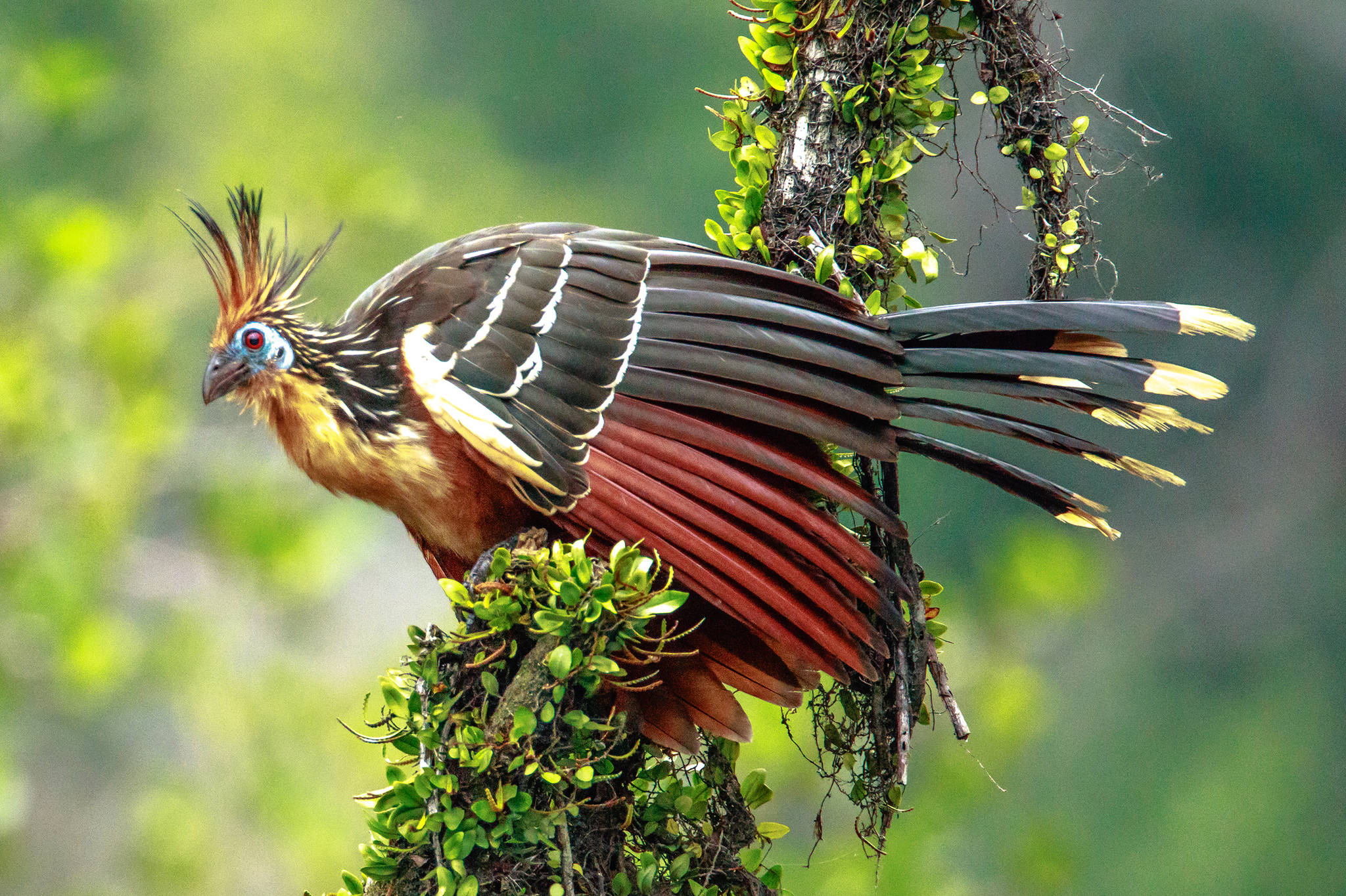 The strange hoatzin of South America eats mostly leaves; its crop has been modified to do double-duty, becoming used for digestion as well as storage. (Courtesy Photo / Murray Foubister, Wikimedia)