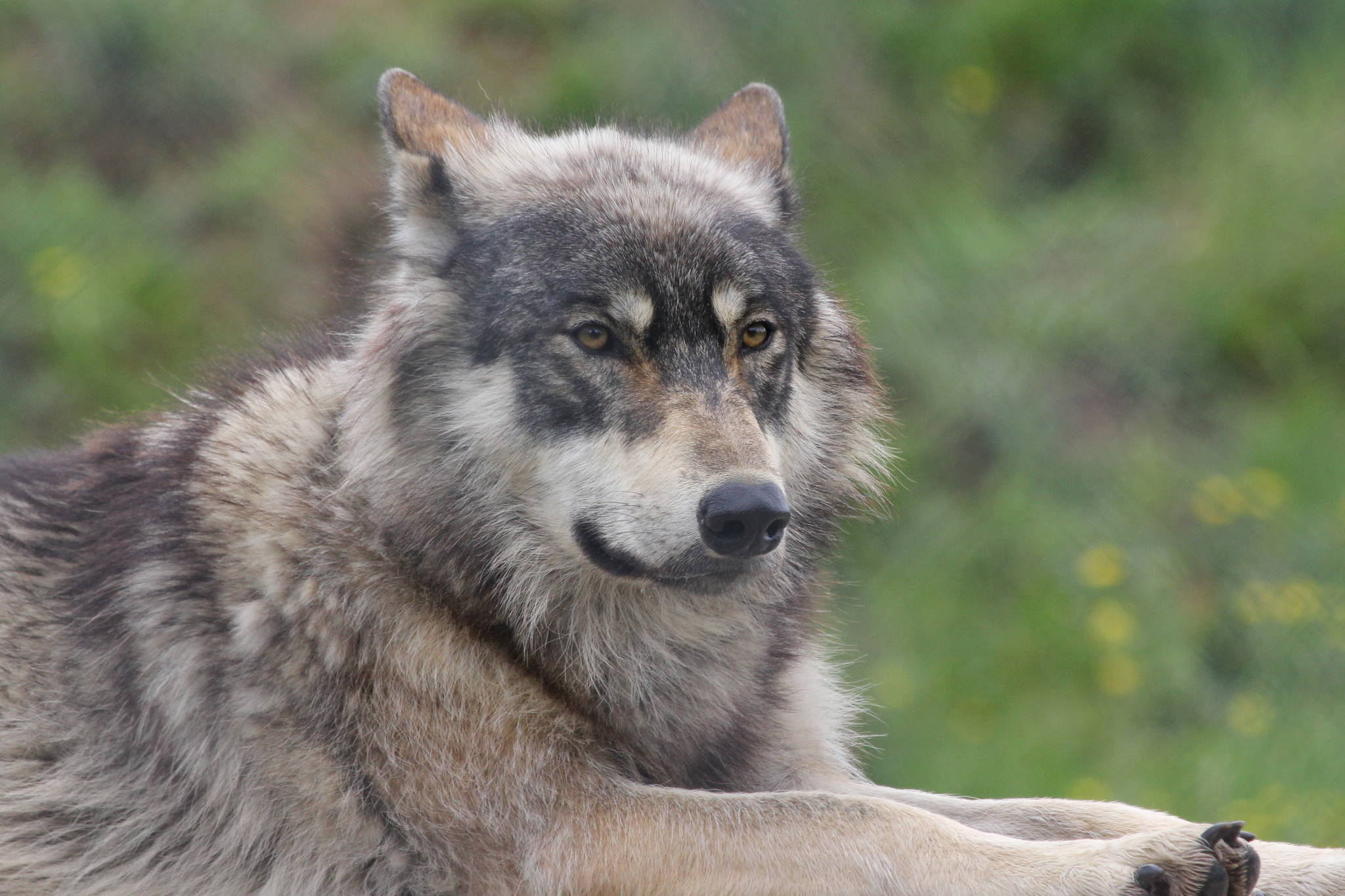 This photo shows a North American wolf. (Courtesy Photo / Mark Kent, Wikimedia)